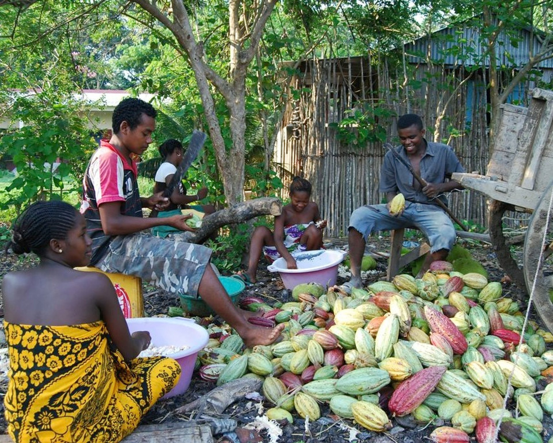 Farmers from Madécasse Chocolates in Madagascar removing cacao beans from pods 2020