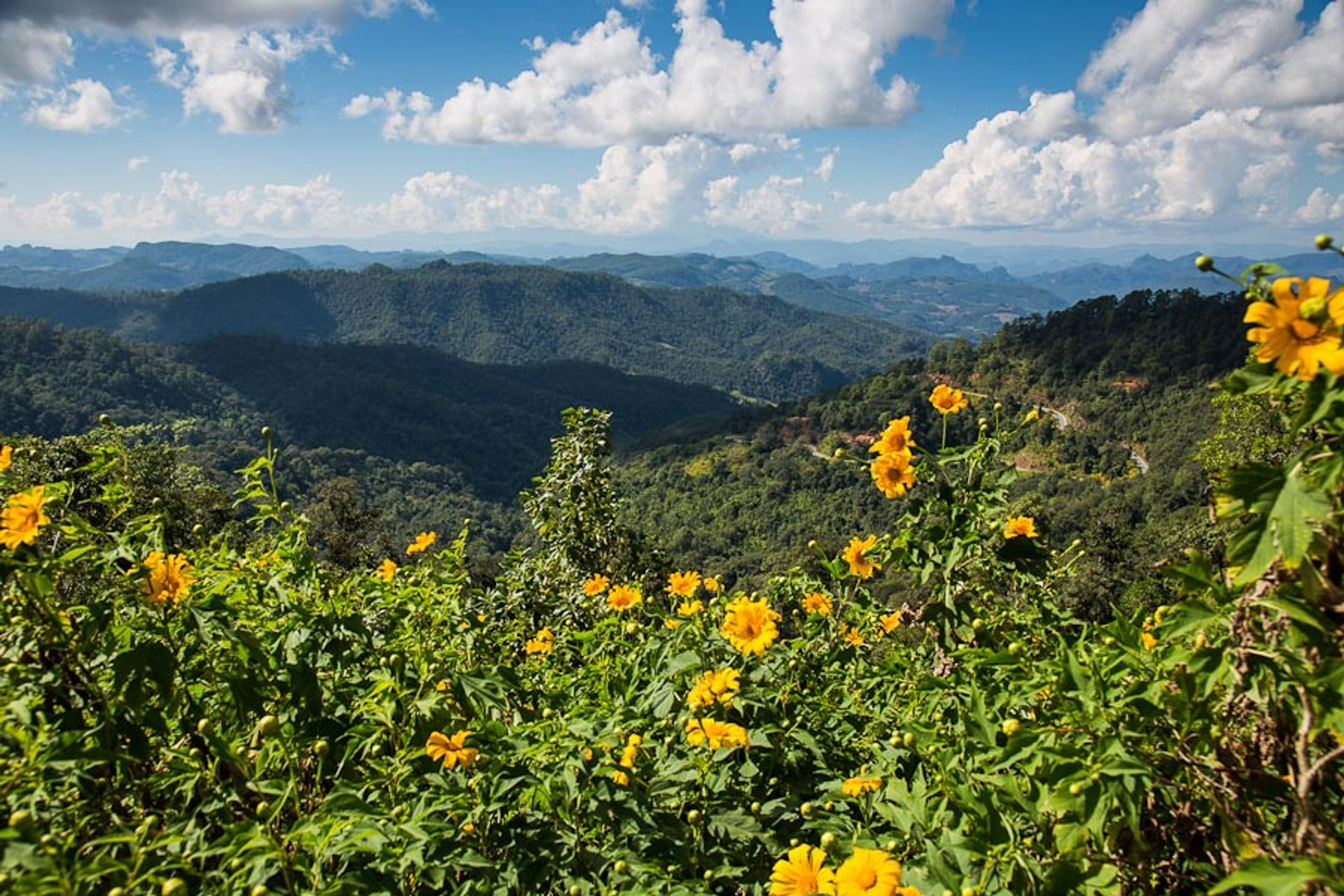 Mexican Sunflowers Bloom in Thailand - Best Time