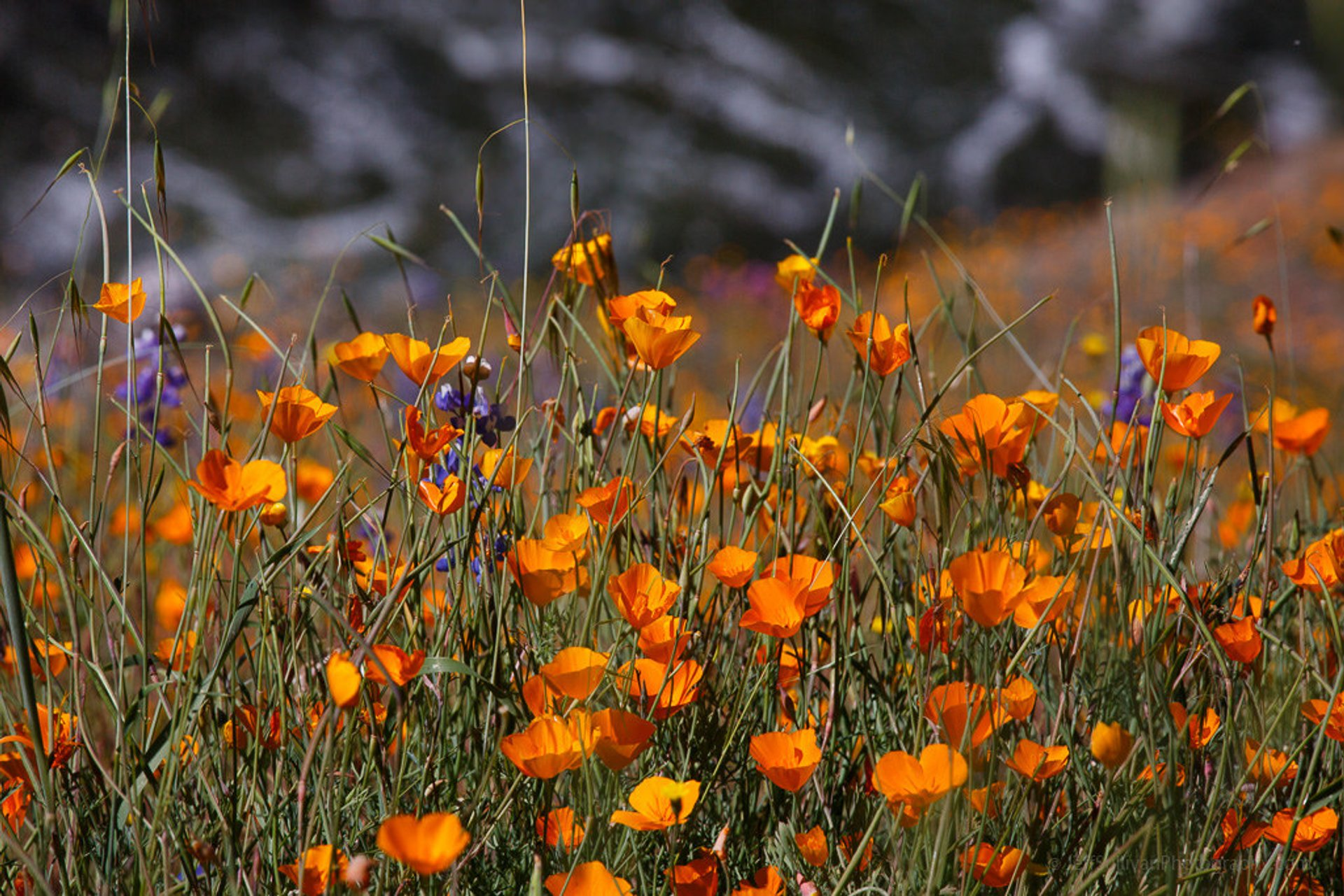 Poppies Over the Merced River