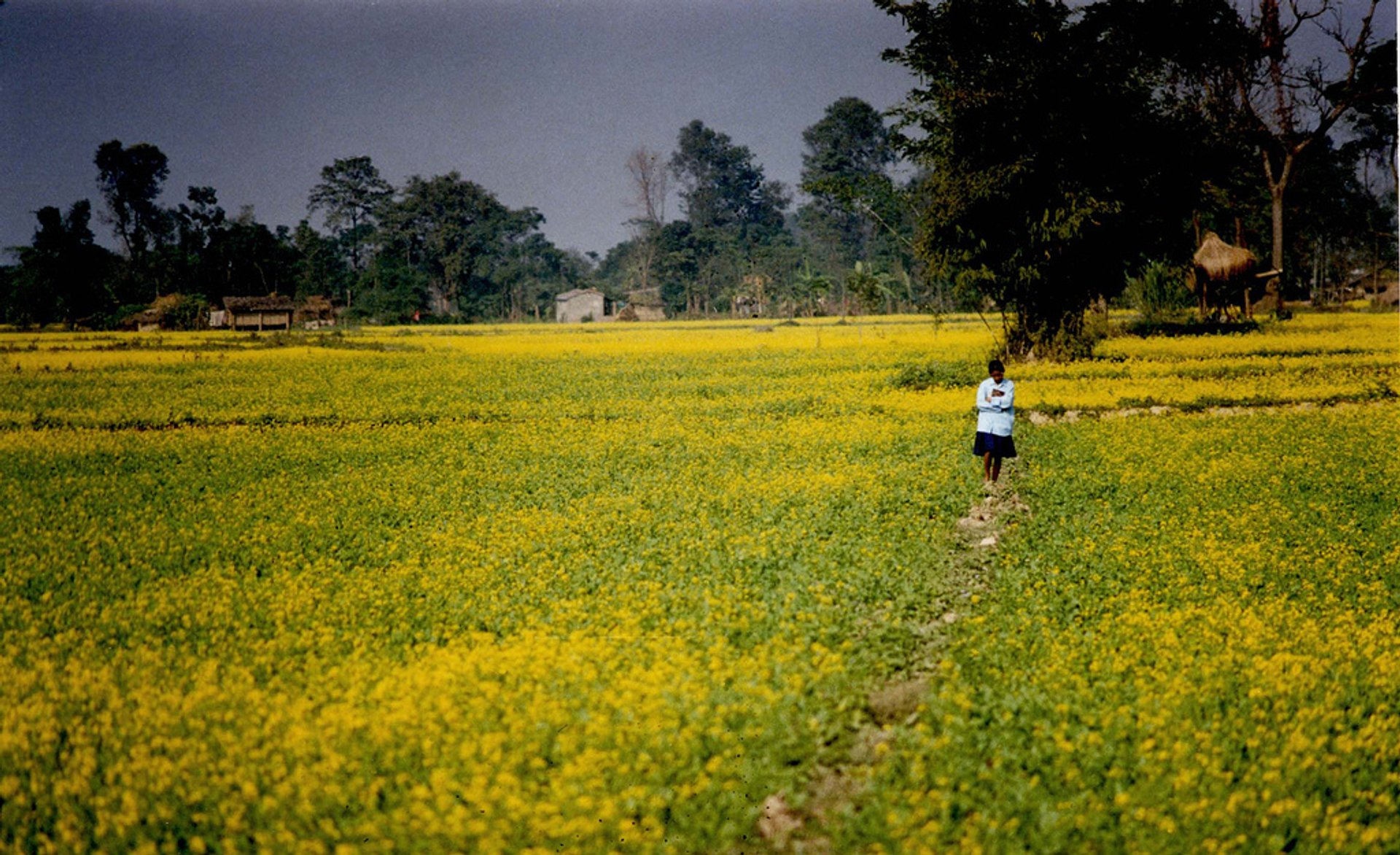 Mustard Fields in Bloom in Nepal 2020 - Best Time
