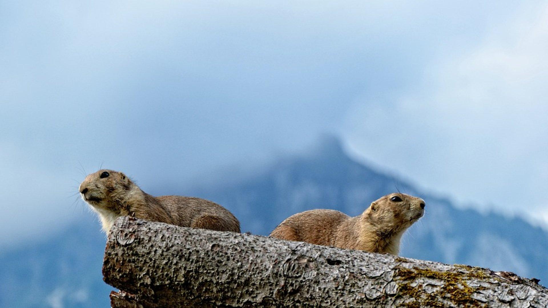 Alpine Marmots in Austria 2020 - Best Time