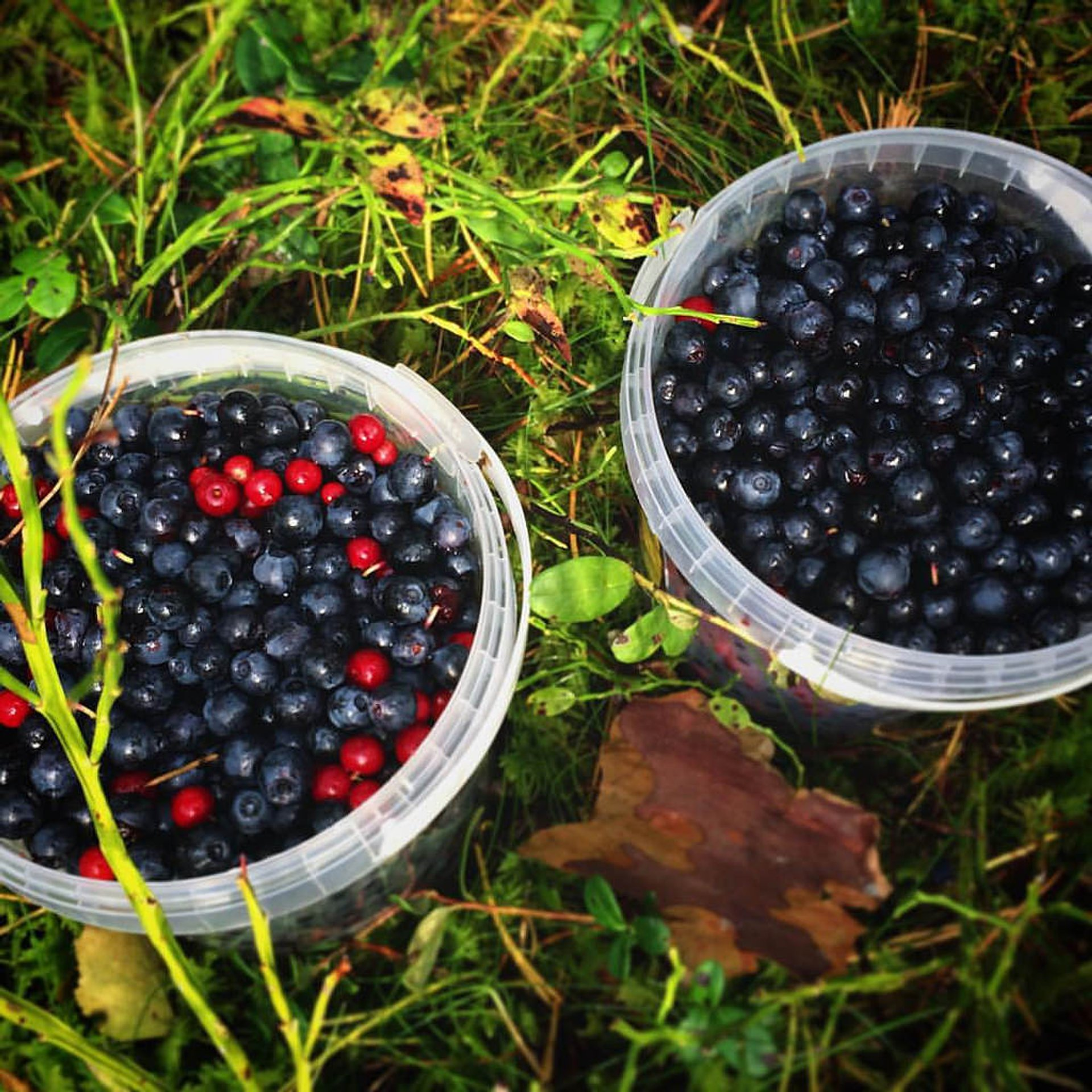 Blueberries and mountain blackberries, Viljandi, Estonia 2020