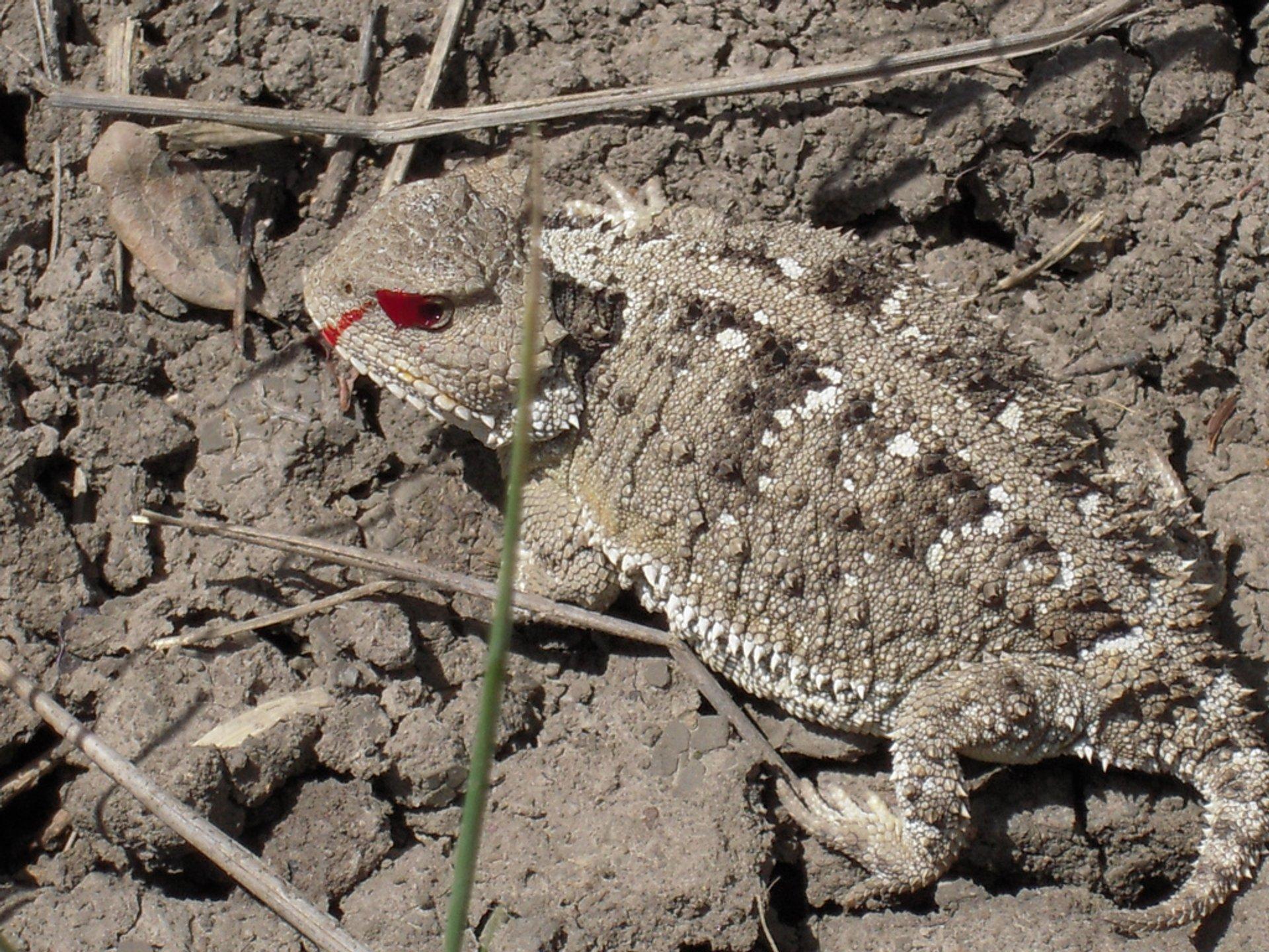 Short-horned Lizard in Charles M Russell National Wildlife Refuge, eastern Montana, USA 2020