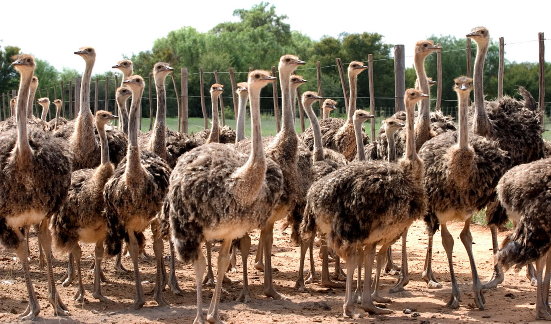 Best time for Oudtshoorn Ostriches in South Africa 2020