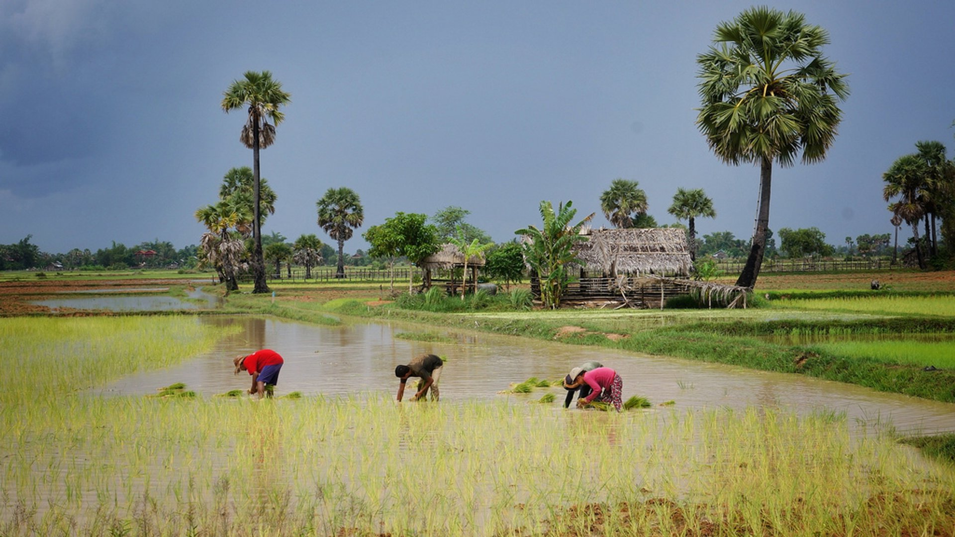 Rice Harvest Season in Cambodia 2019 - Best Time