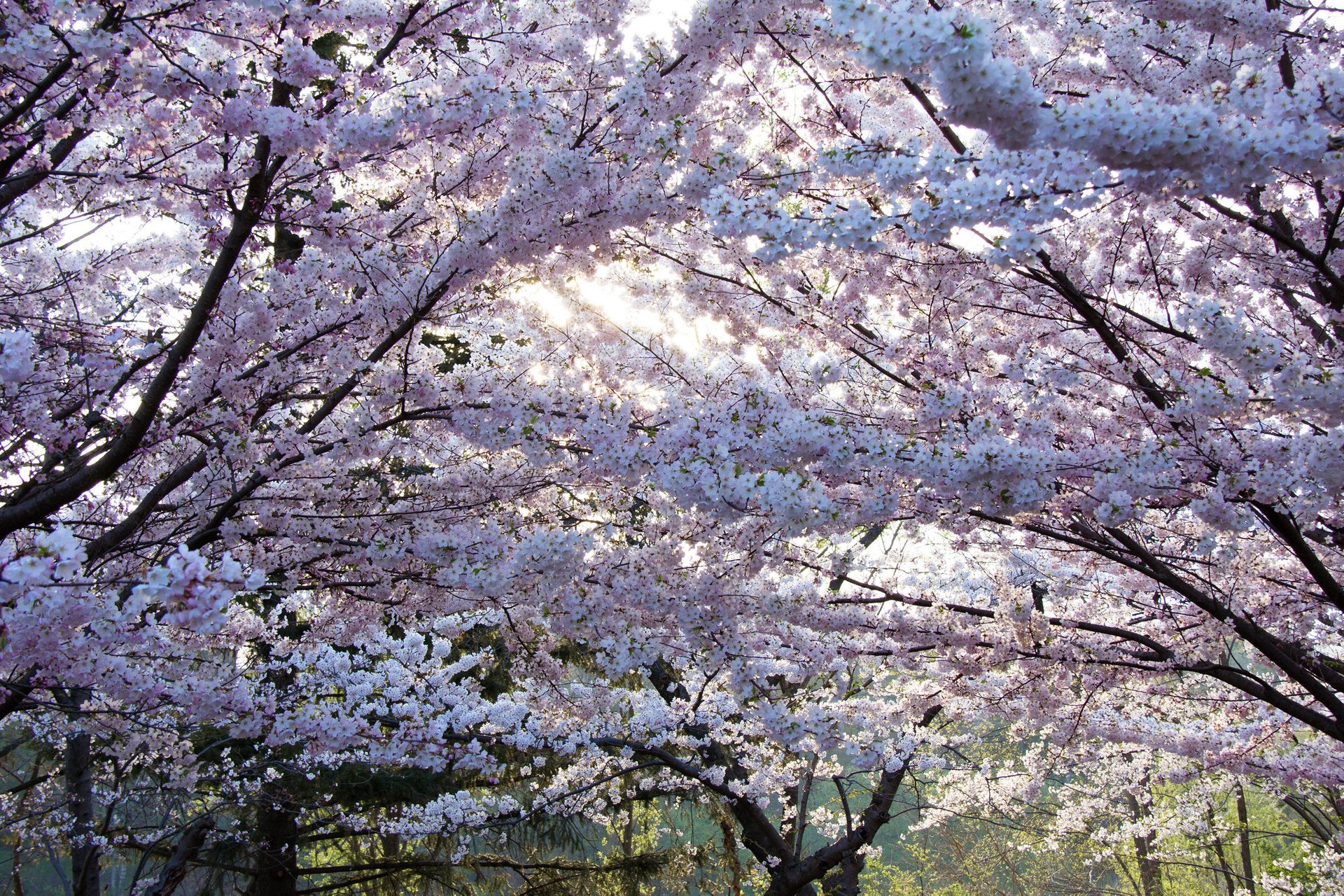 Best time for Cherry Blossom 2019