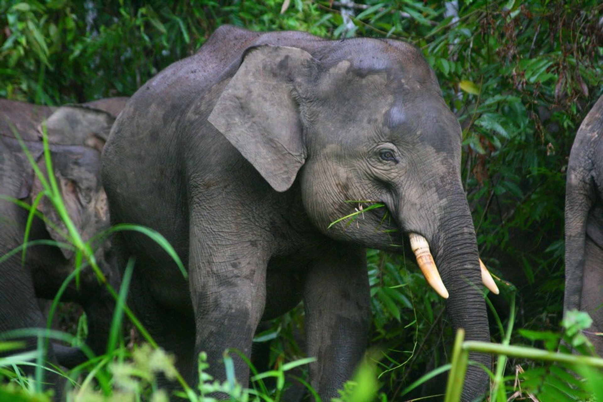 Pygmy Elephants in Malaysia - Best Season 2020