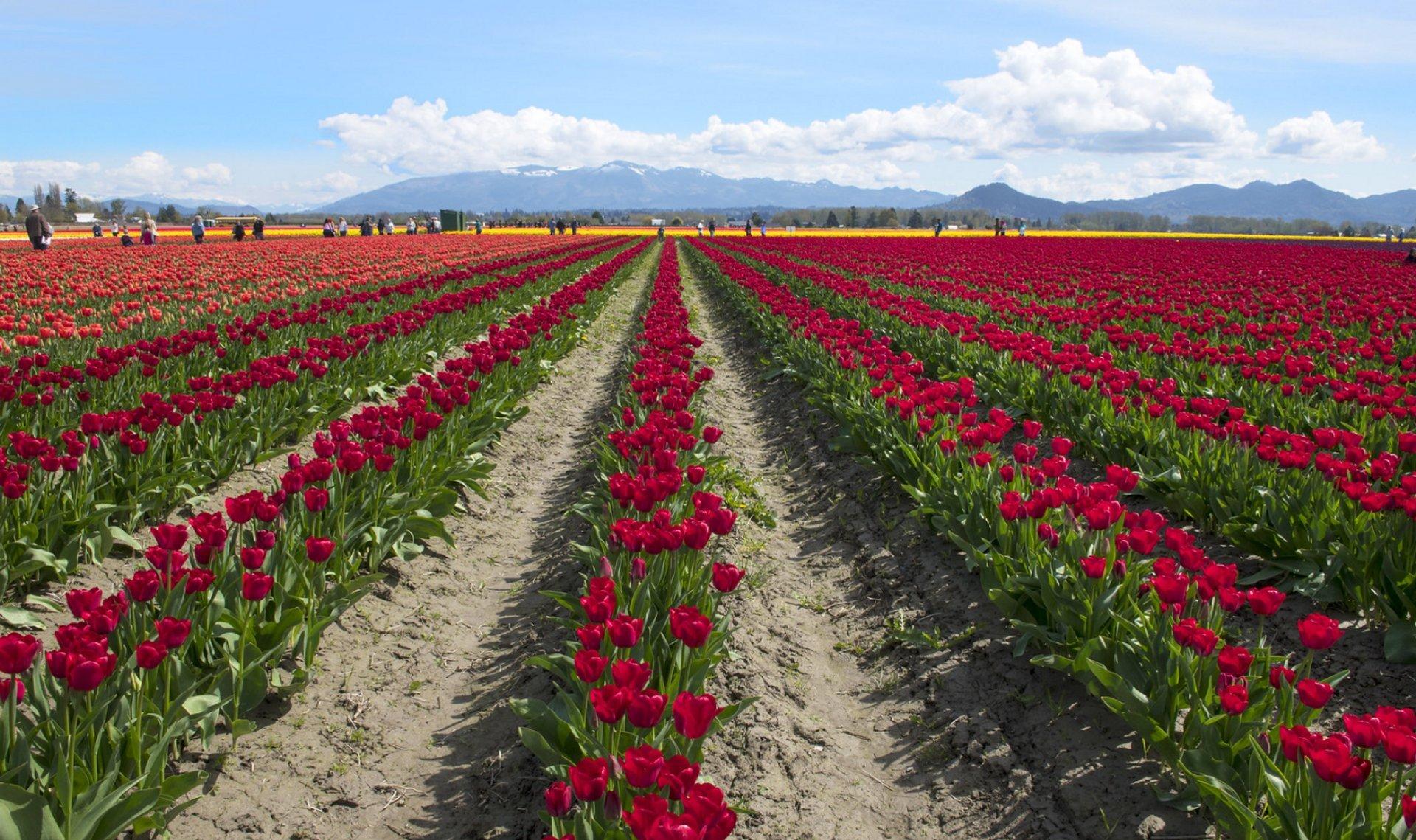 Skagit Valley Tulip Festival near Seattle, Washington in Seattle - Best Season 2020