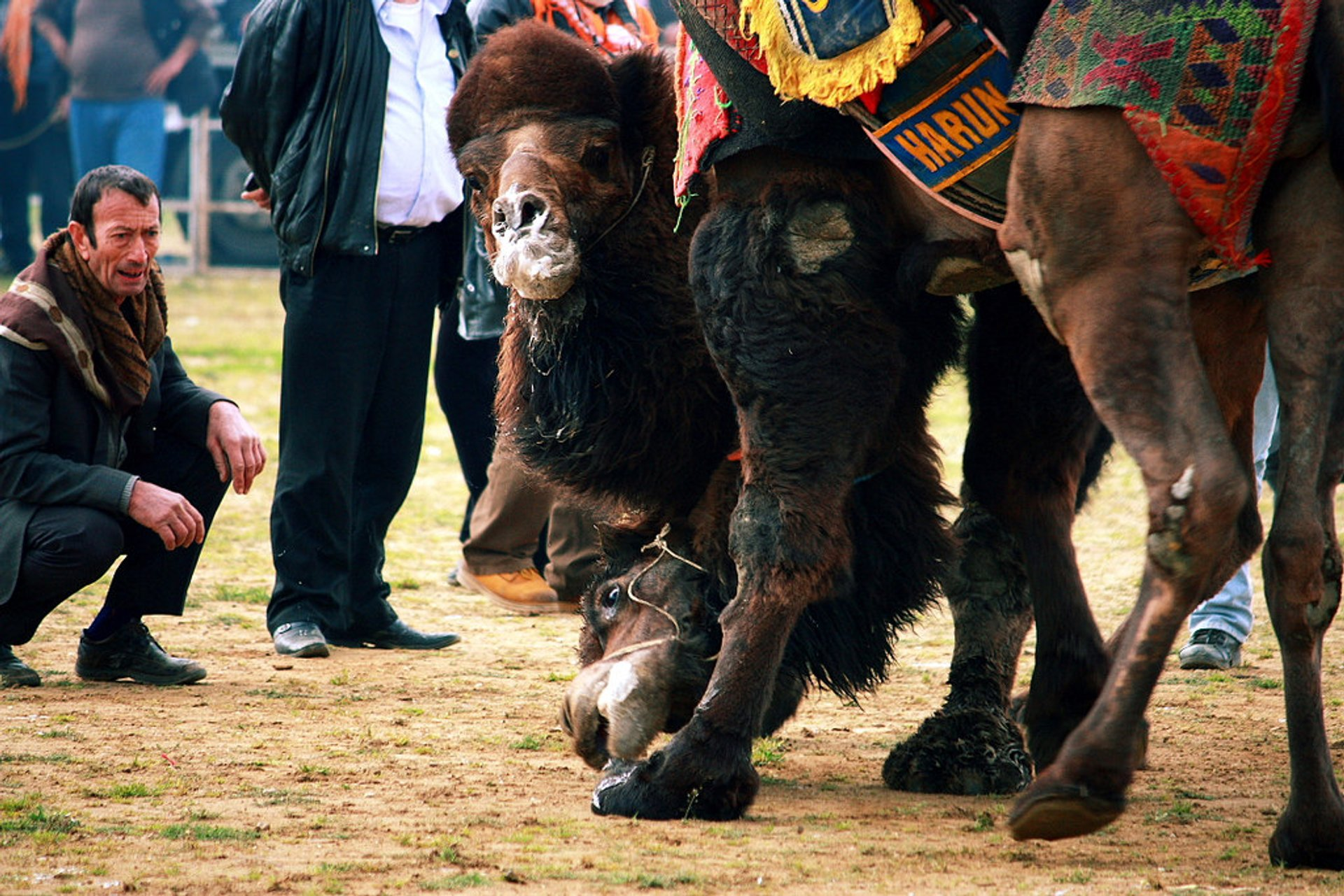 Camel Wrestling in Turkey - Best Season