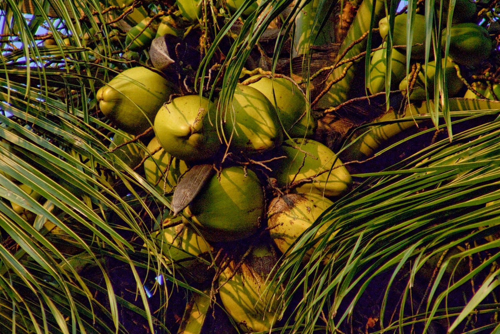 Coconuts 2020