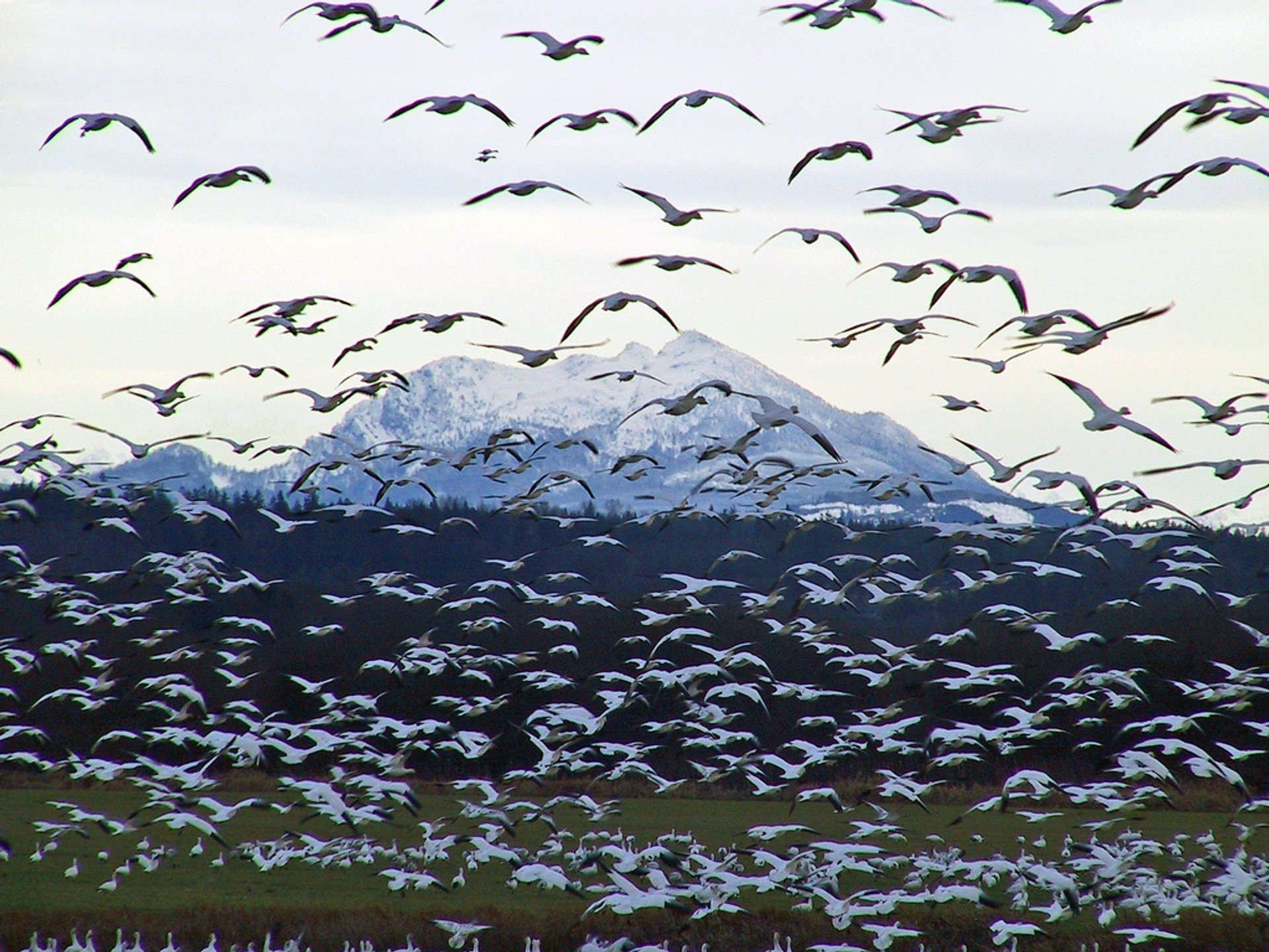 Snow Geese Spring Migration in Alaska 2019 - Best Time