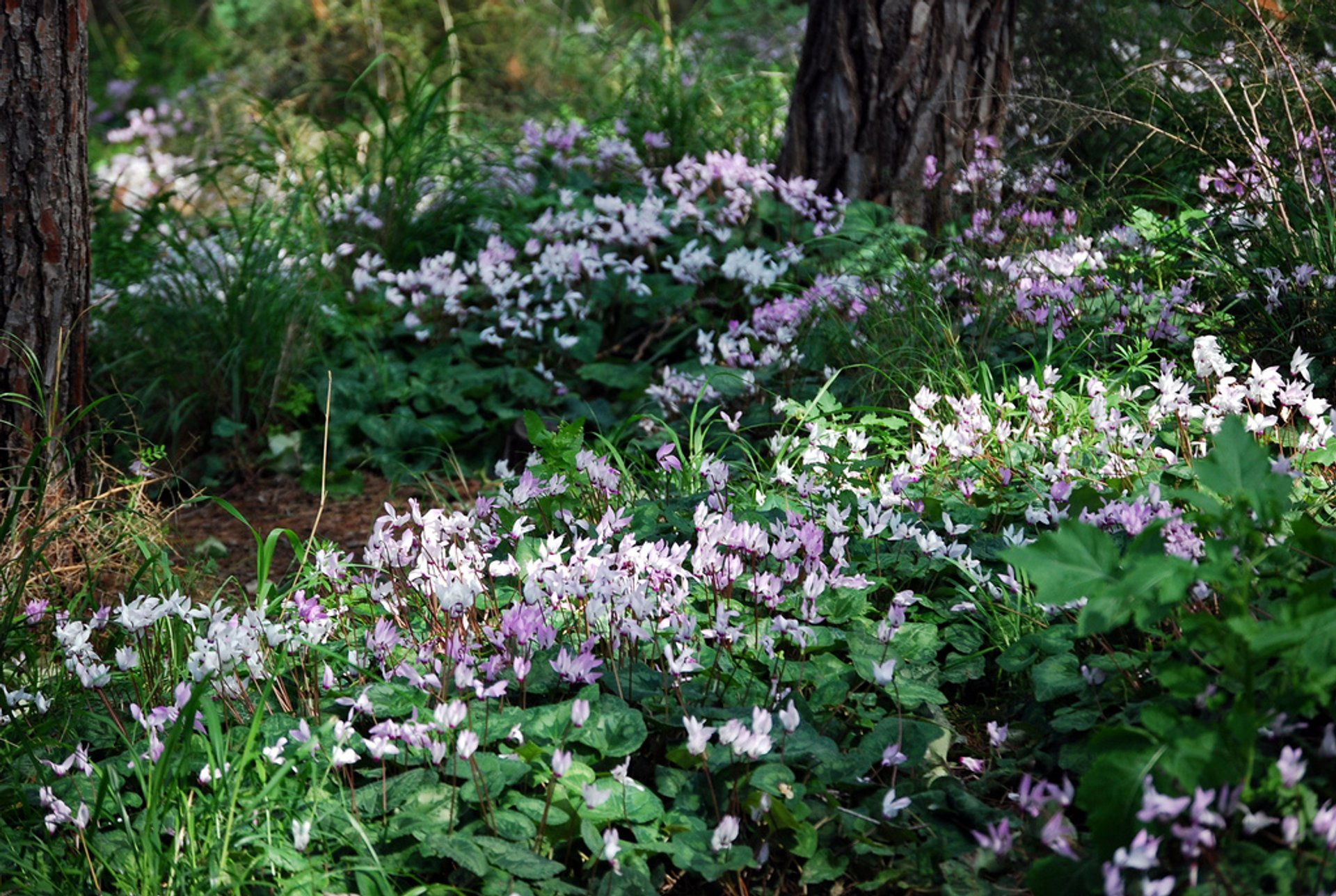 Blooming of Cyclamens in Israel - Best Season