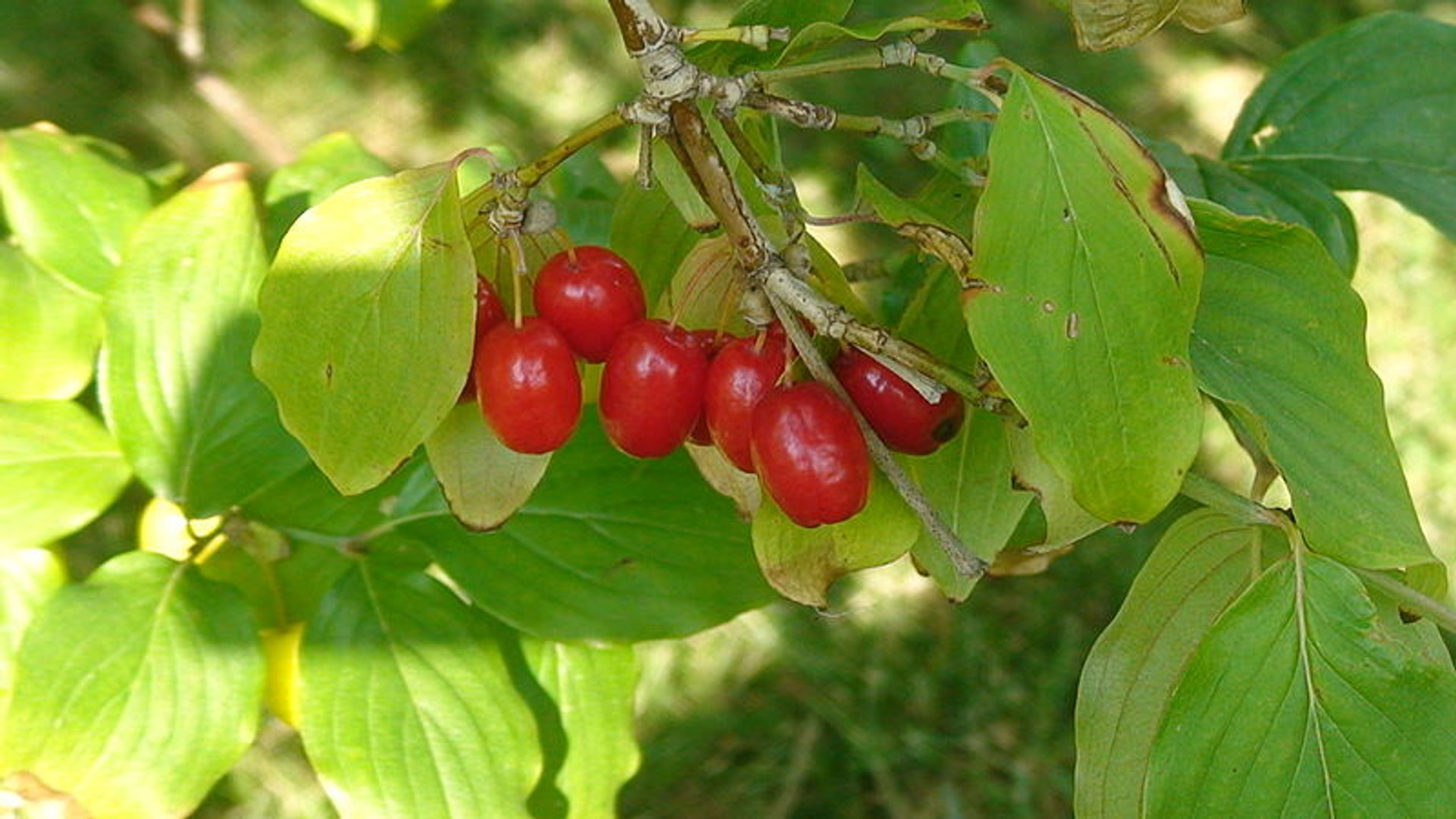 Best time for Cornelian Cherries or Drenjine in Montenegro