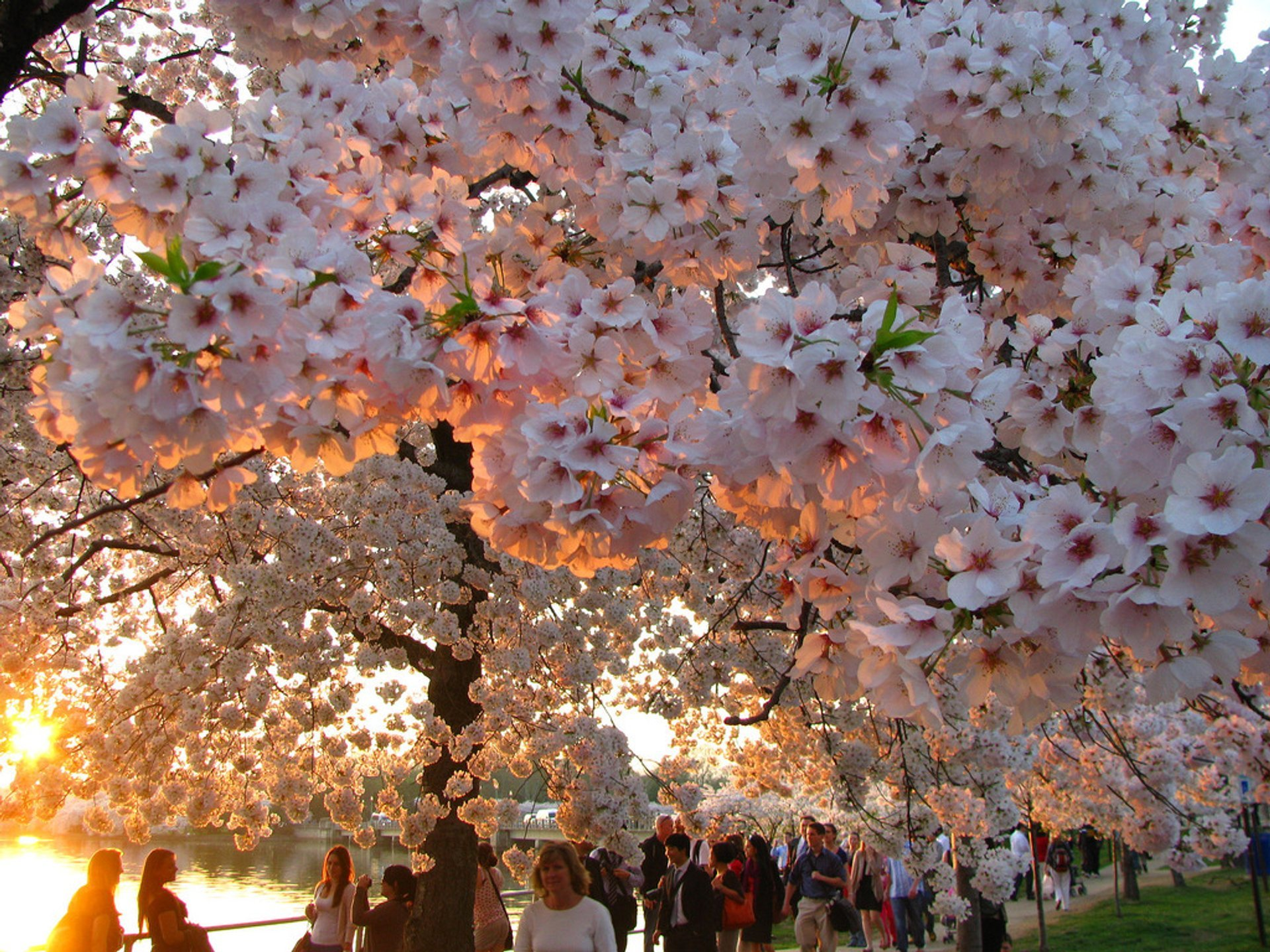 Best time for Cherry Blossoms in Washington, D.C.