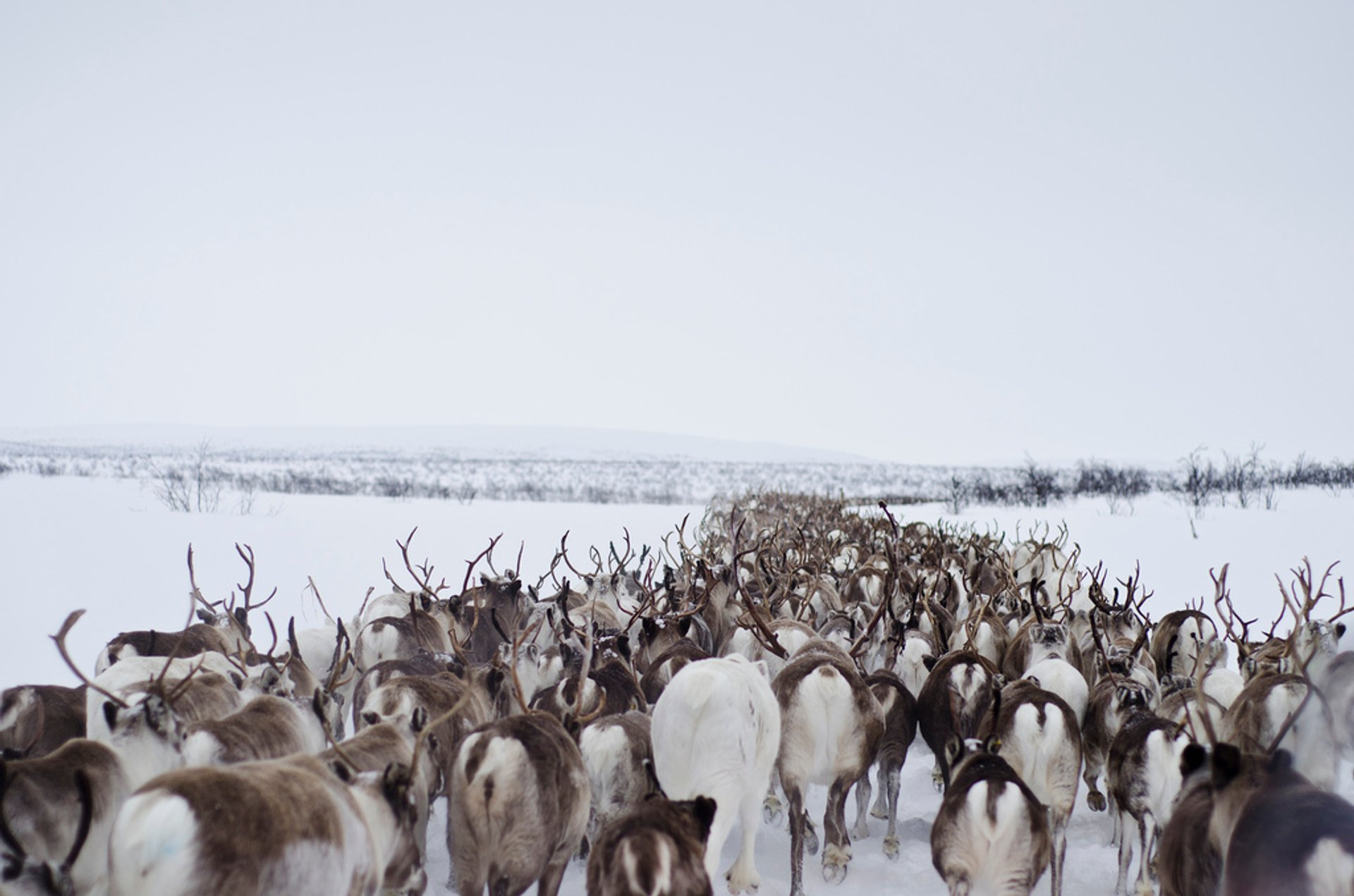 Reindeer Migration in Norway - Best Season 2020