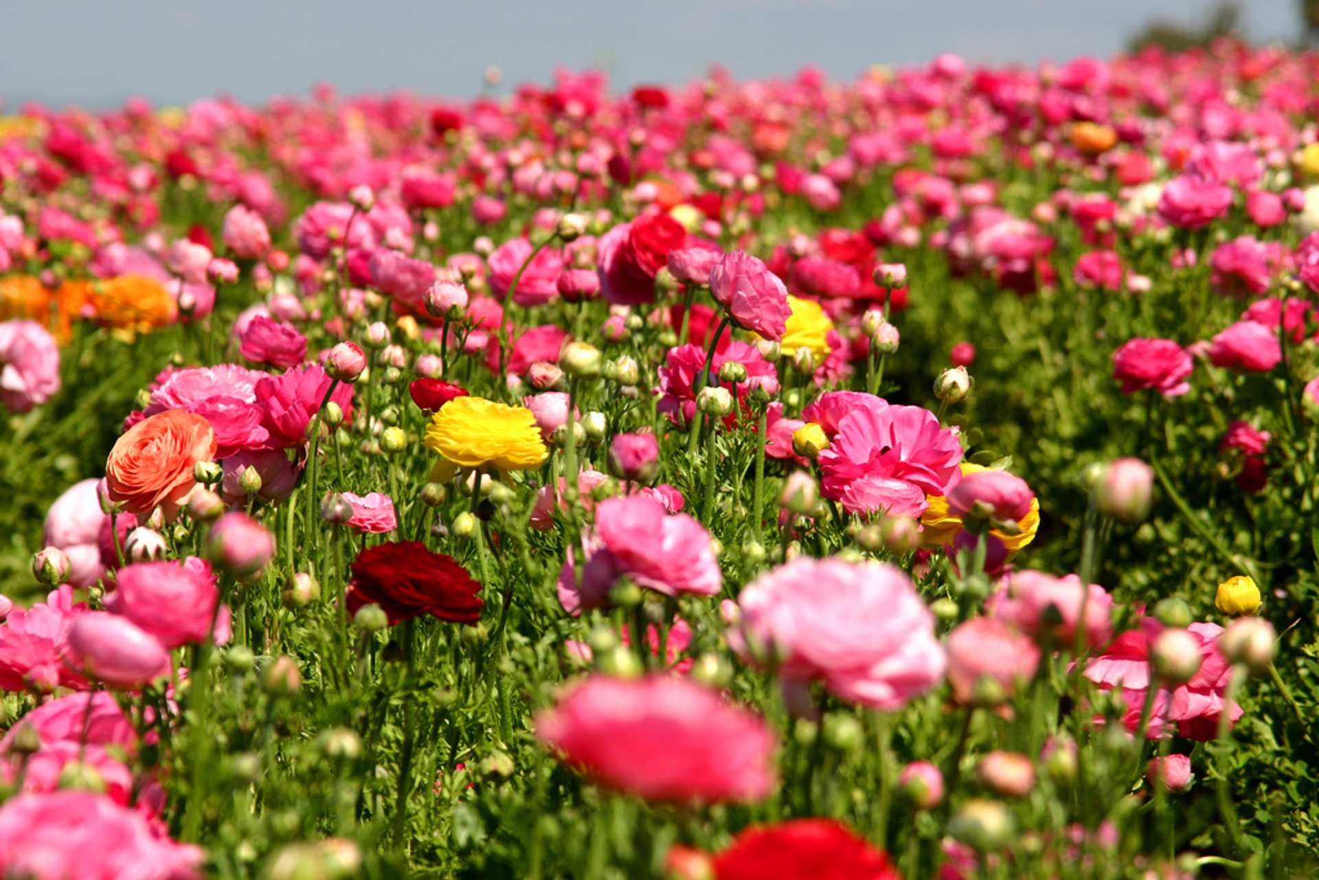 The Flower Fields at Carlsbad Ranch in San Diego 2020 - Best Time