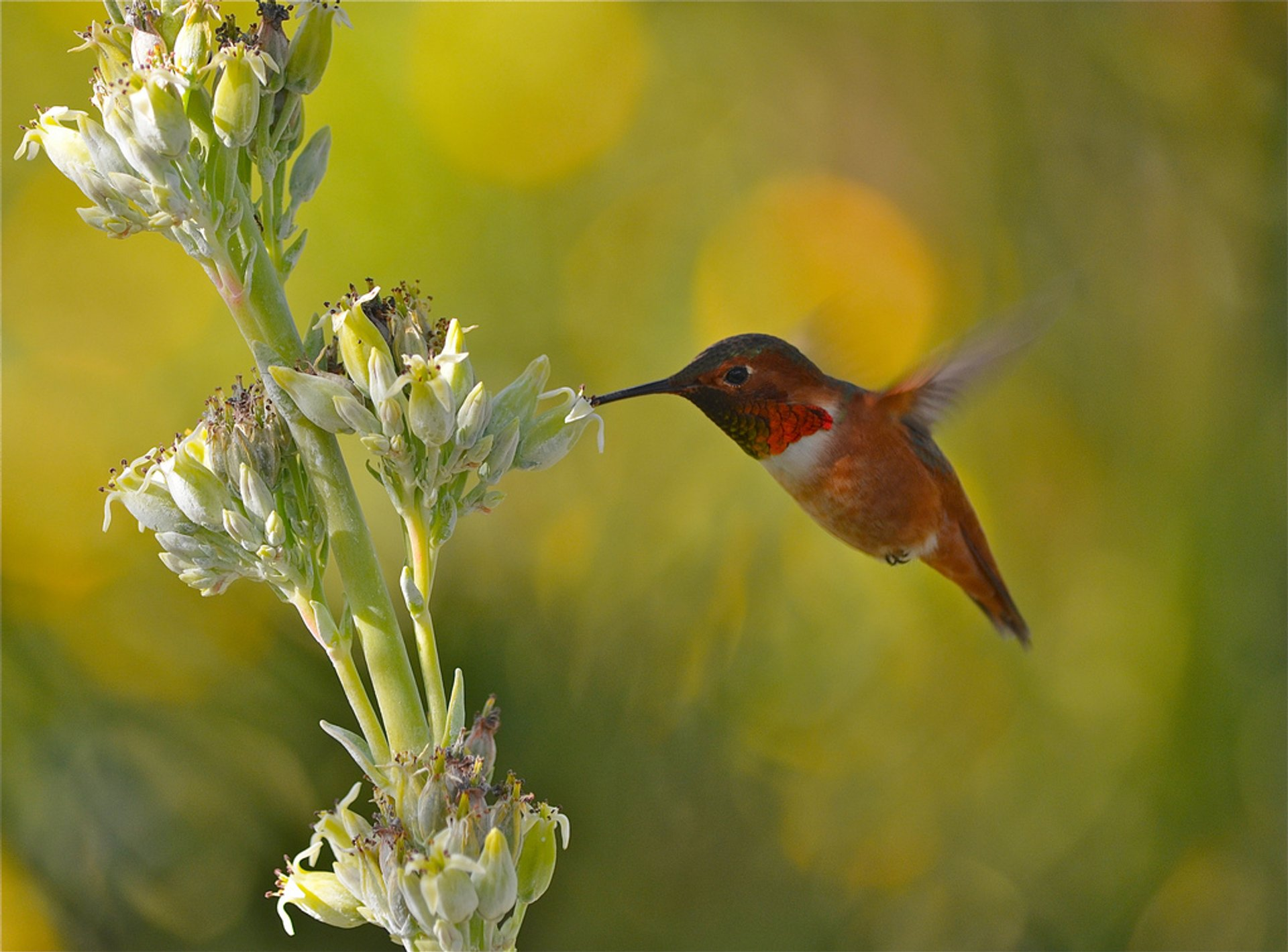 Hummingbirds in Los Angeles 2020 - Best Time