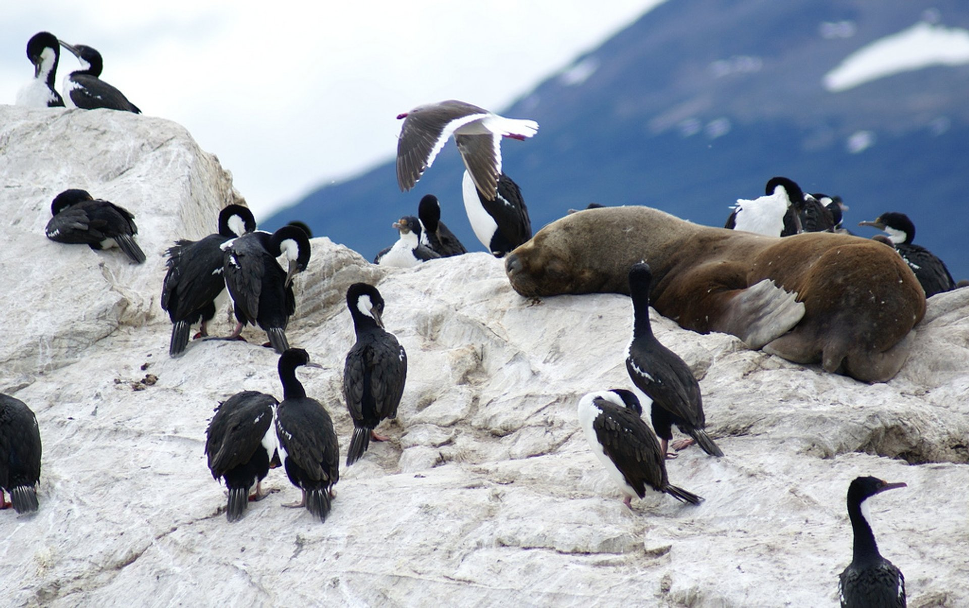 Best time for Patagonian Cormorants in Argentina 2019