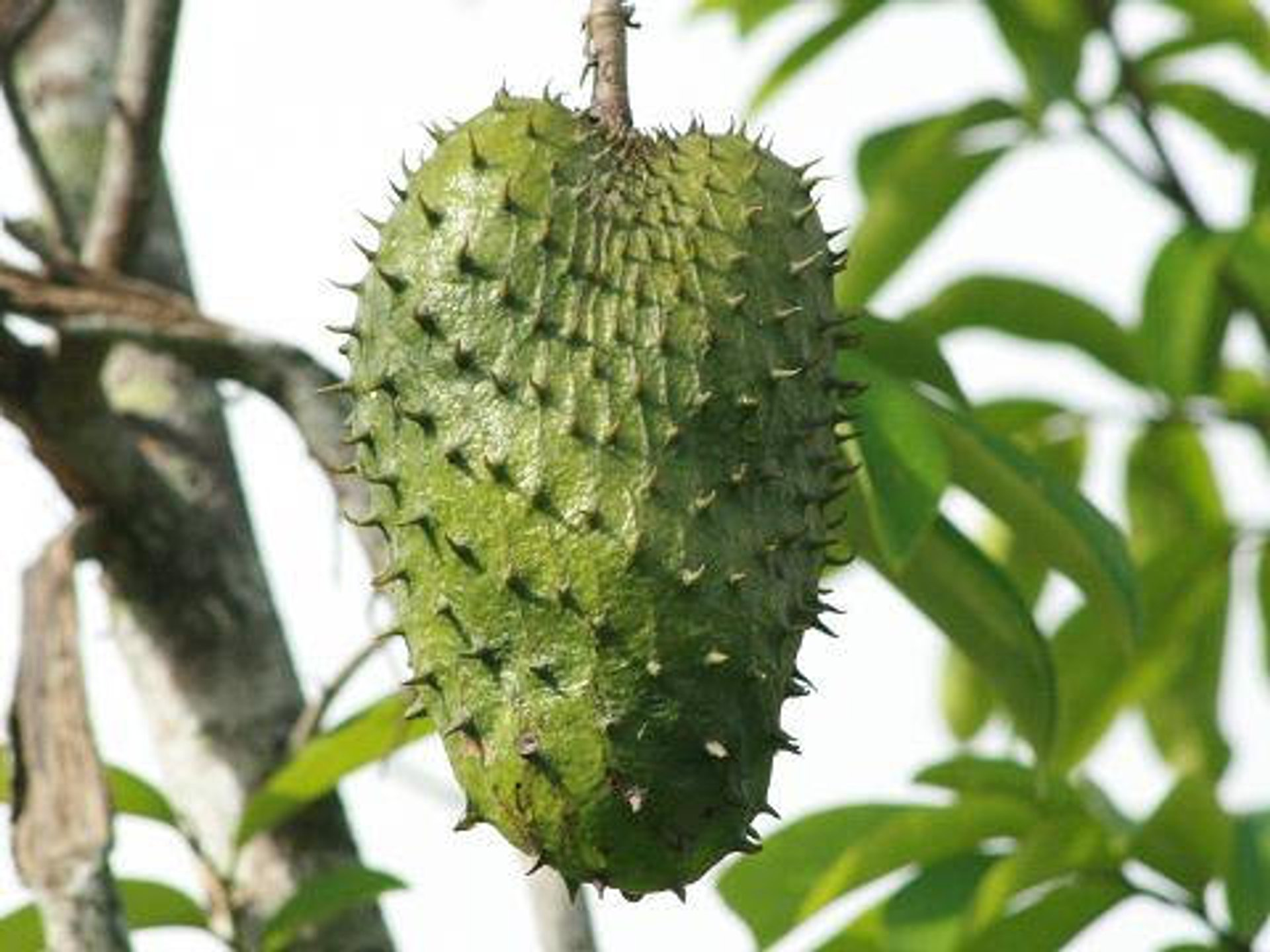 Soursop Season in Fiji - Best Season 2020