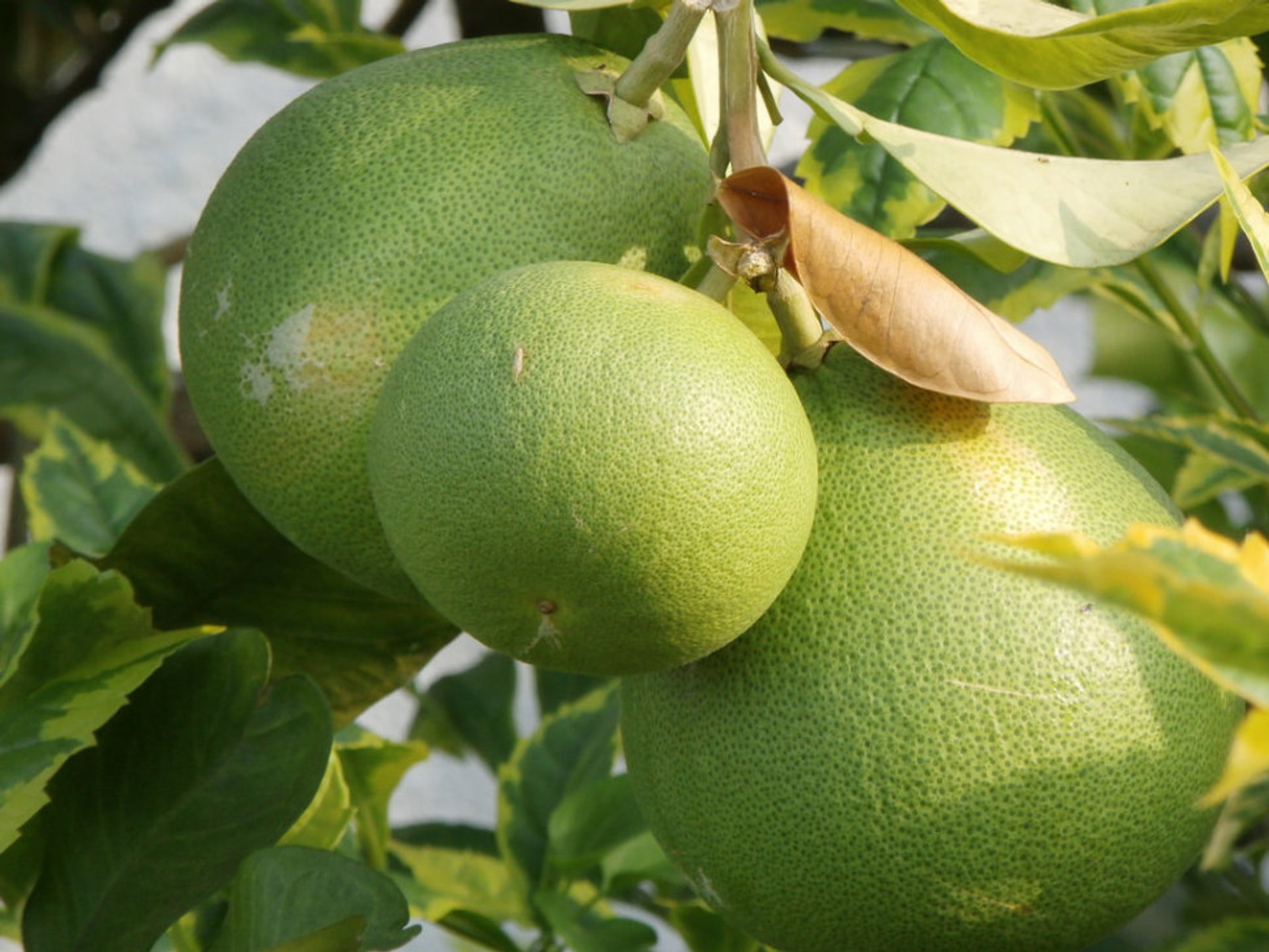 Pomelo in Singapore - Best Season 2019