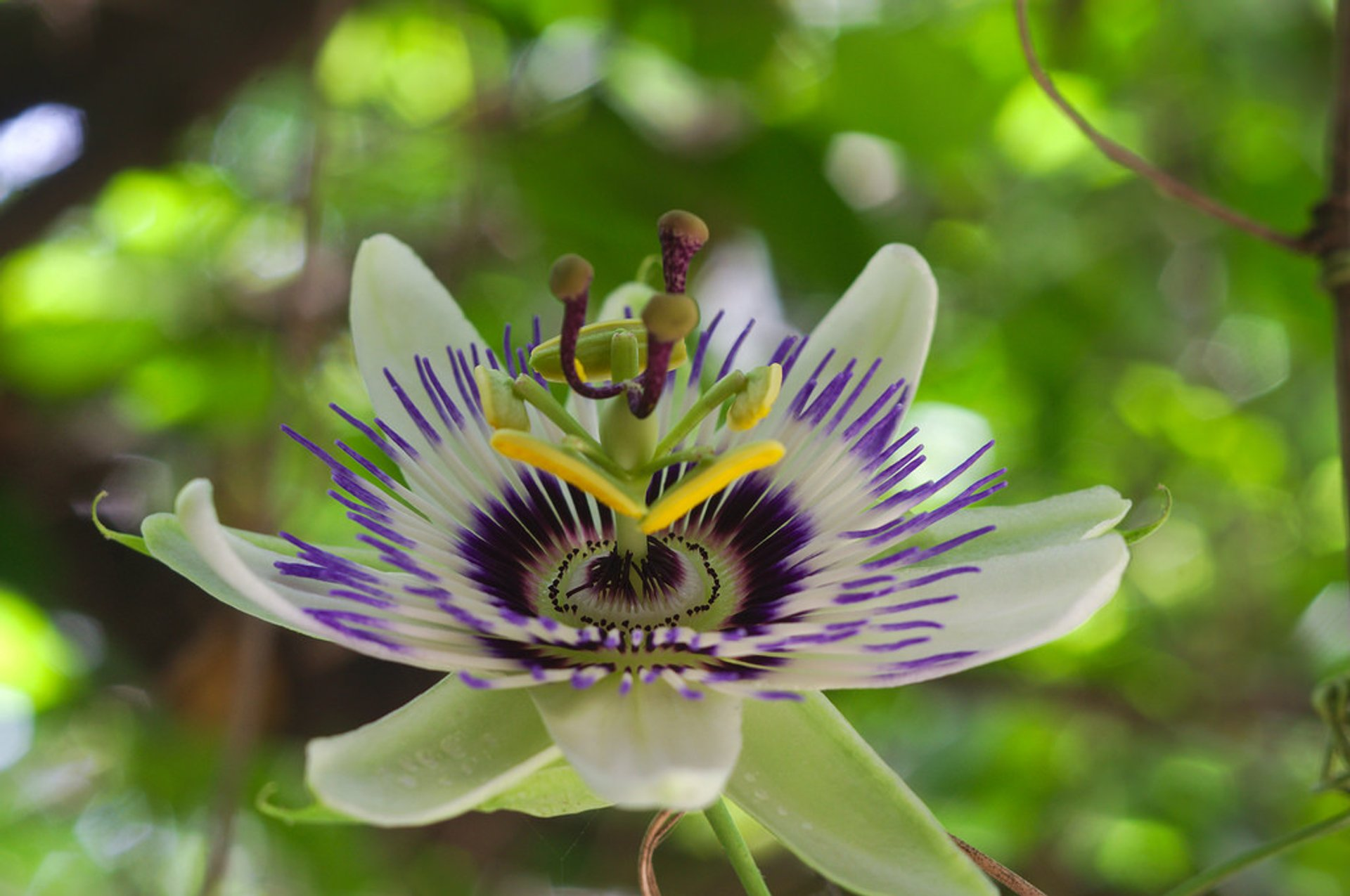 Blue Passion Flower Blooming in Buenos Aires 2019 - Best Time