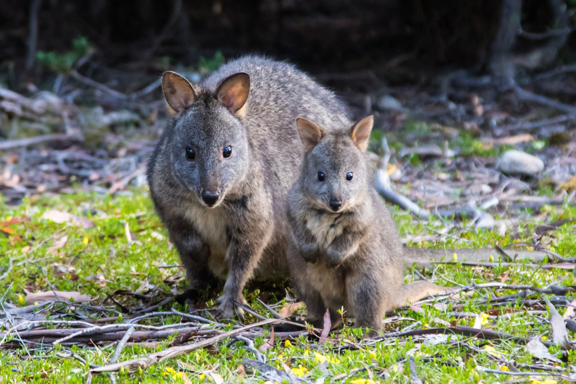 Pademelon in Tasmania 2019 - Best Time