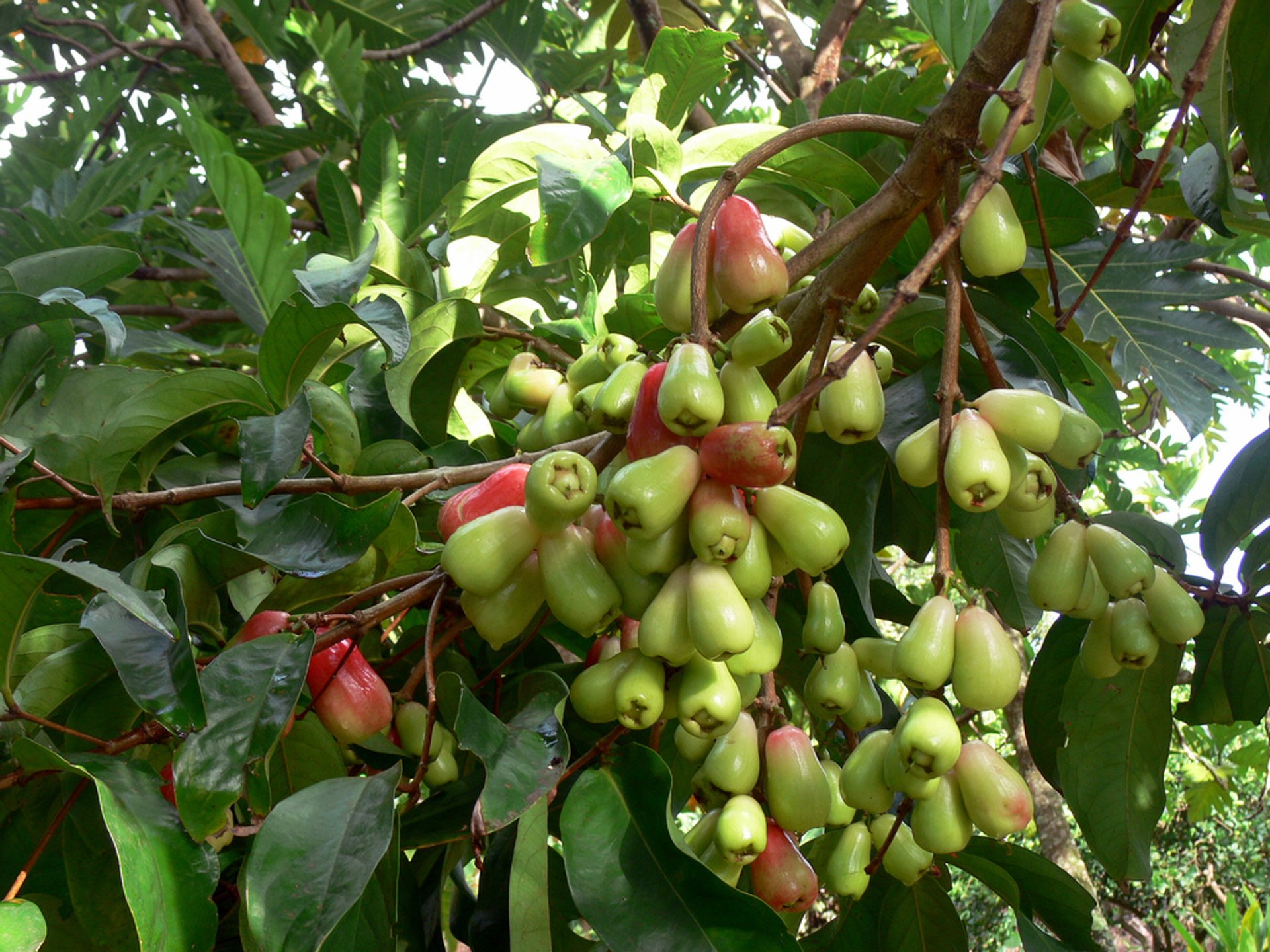 Ohi'a'ai or Mo​untain Apples in Hawaii - Best Season 2020