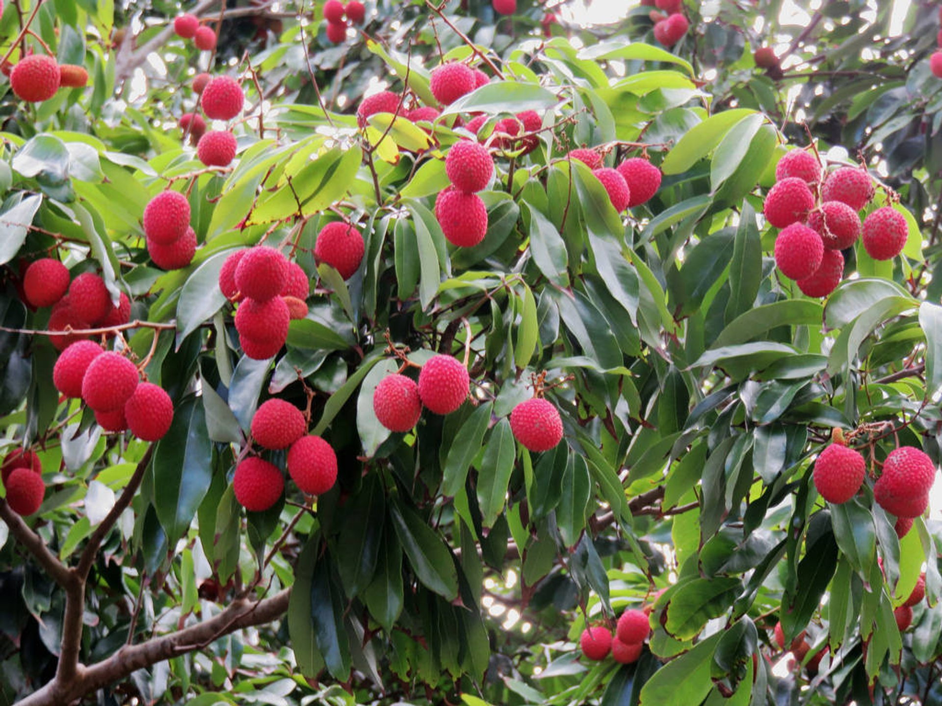 Lychee in Hawaii - Best Season 2019