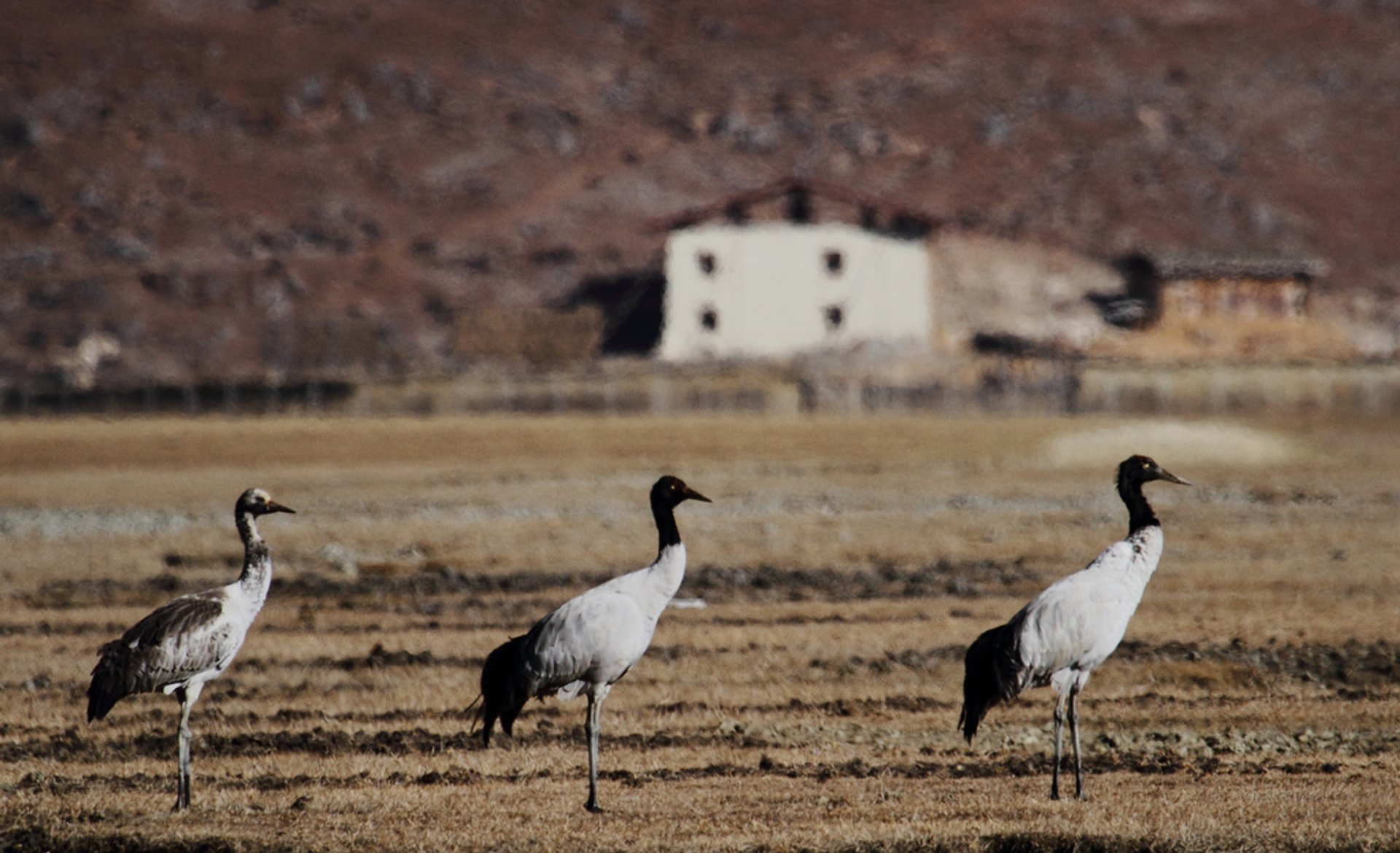 Black-Necked Cranes in Bhutan - Best Season