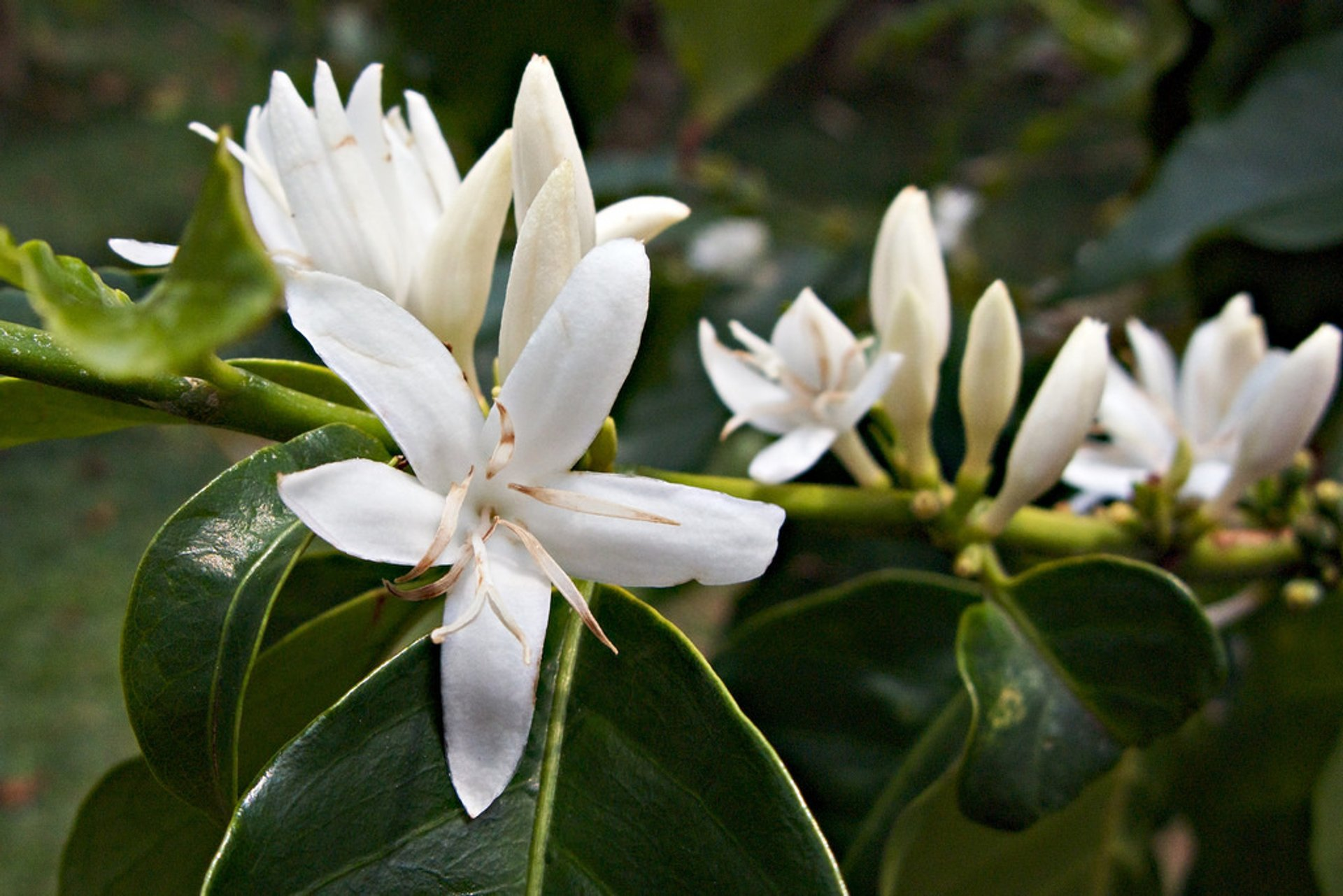 Kona Coffee Blossom or 'Kona Snow' in Hawaii 2019 - Best Time