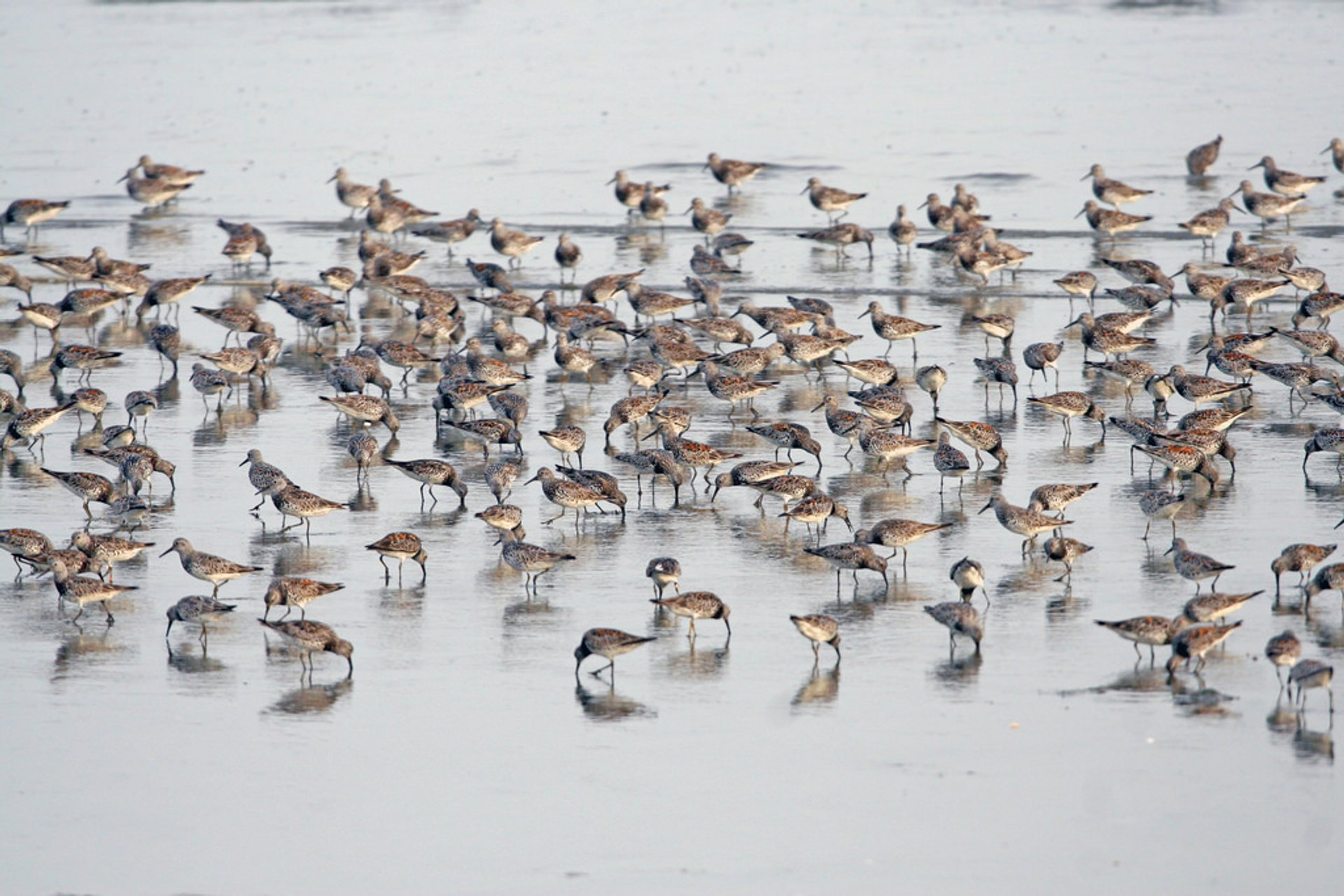 Great Knots (Calidris tenuirostris) feeding on the former Saemangeum flats, South Korea 2020