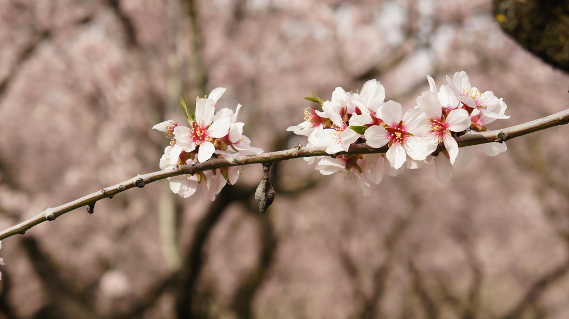 Best time for Almond Blossoms in Quinta de Los Molinos in Madrid 2019
