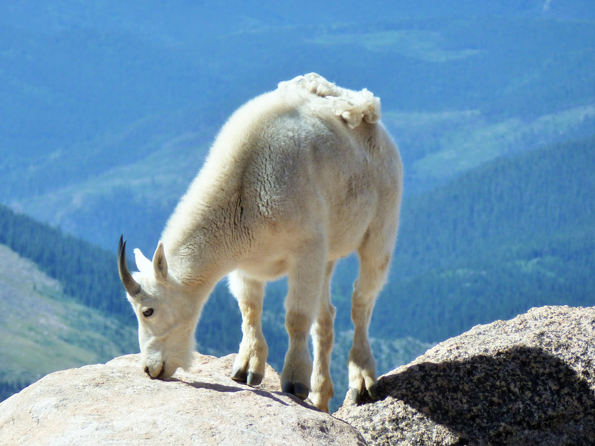 Rocky Mountain Goat 2019