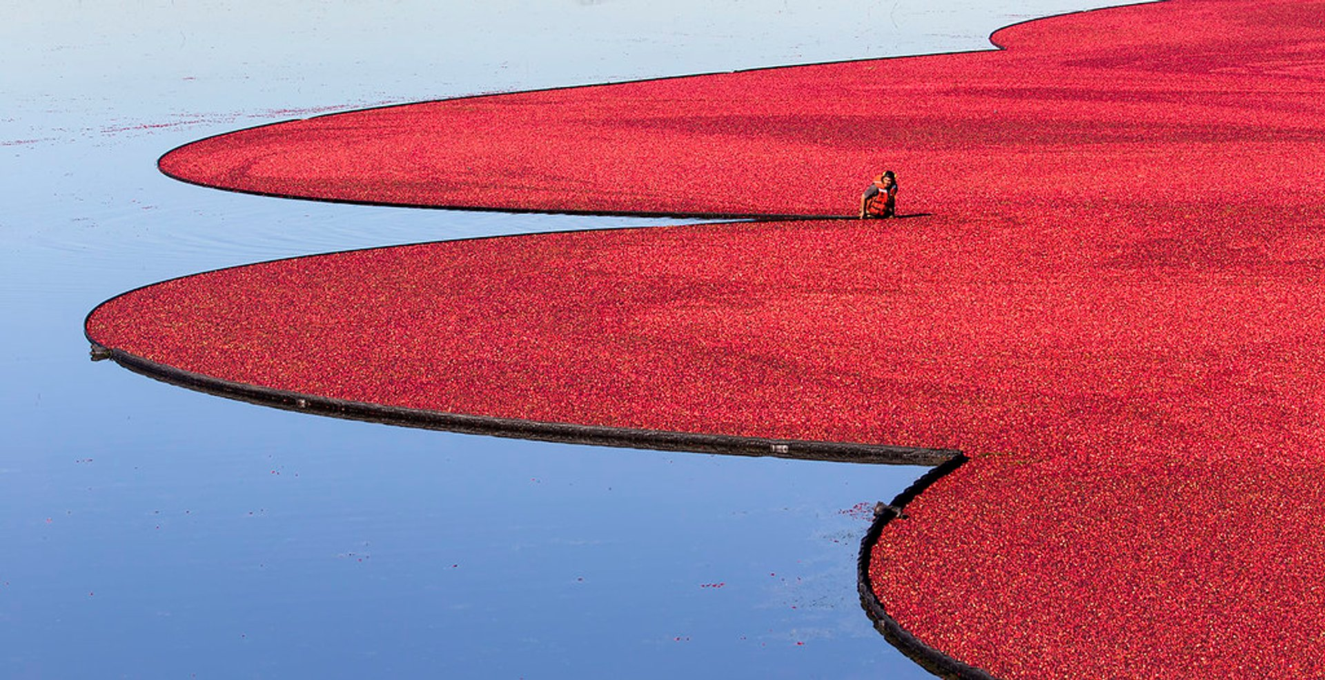 Cranberry Harvest in Vancouver 2020 - Best Time