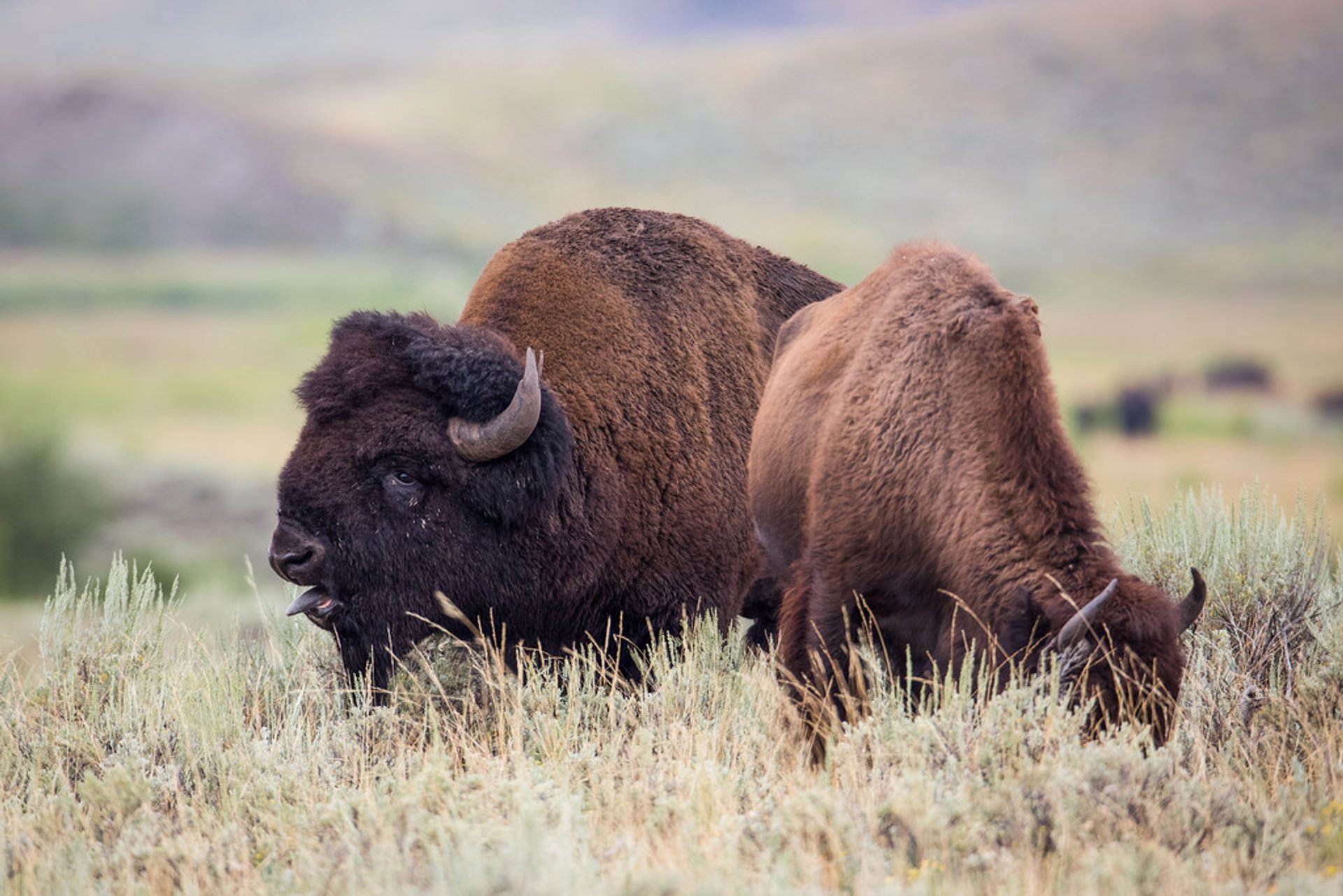 Bison Mating Season in Yellowstone National Park 2020 - Best Time