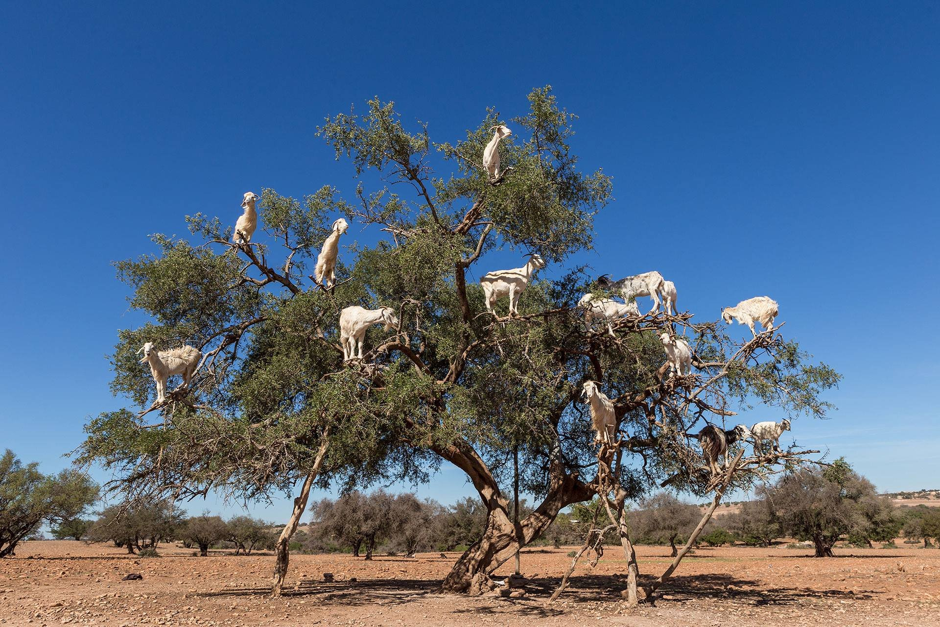 Goats of Souss Valley in Morocco 2020 - Best Time