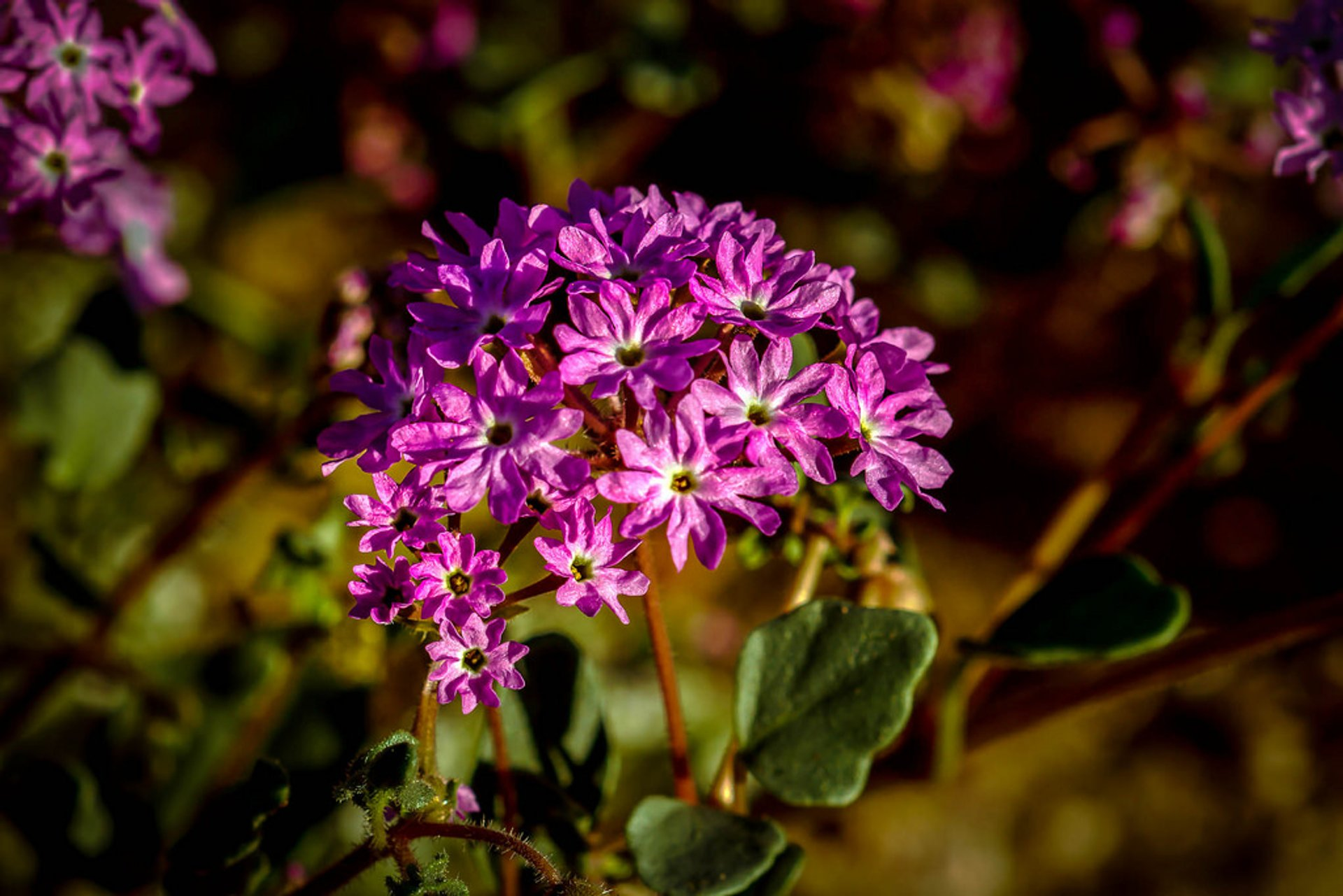Yellowstone Sand Verbena in Yellowstone National Park - Best Time