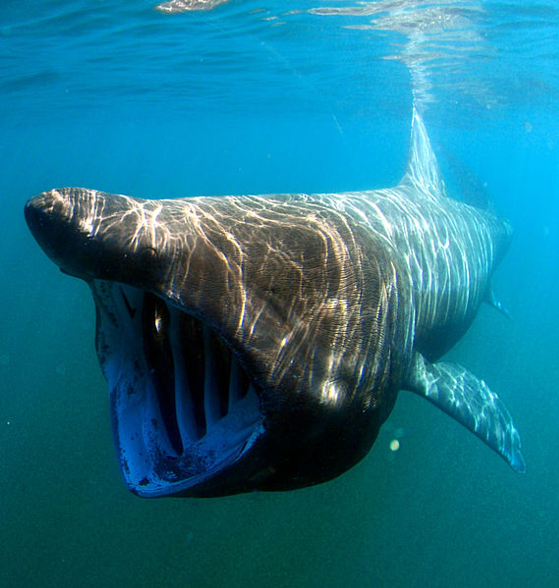 Basking Shark 2020