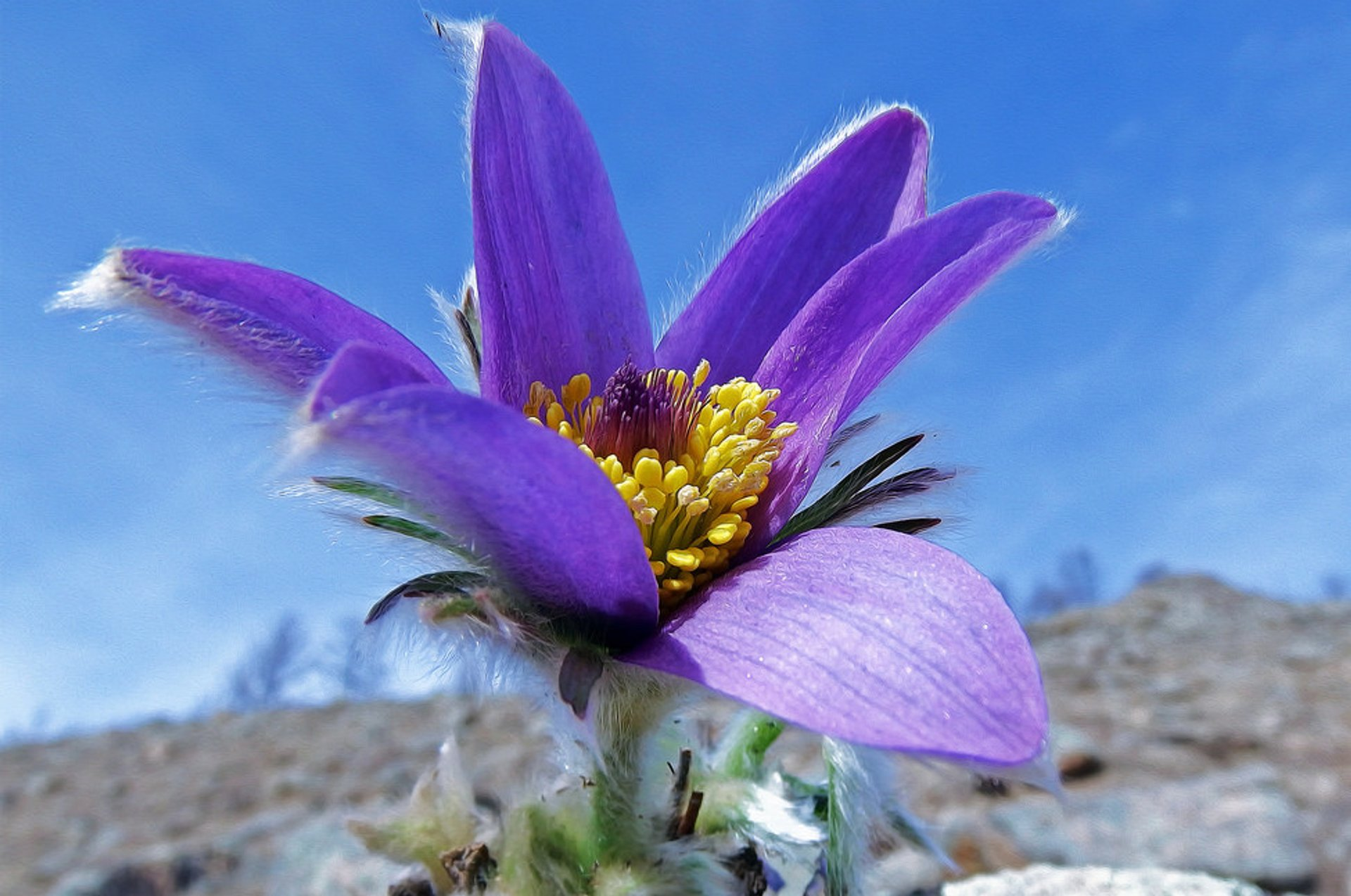 Pasqueflower 2020