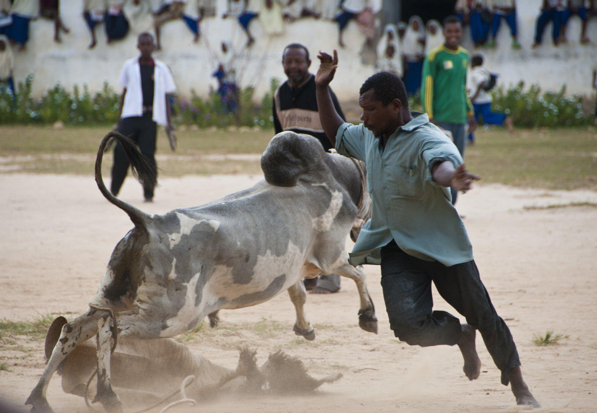 Best time for Bullfighting on Pemba Island in Zanzibar 2019