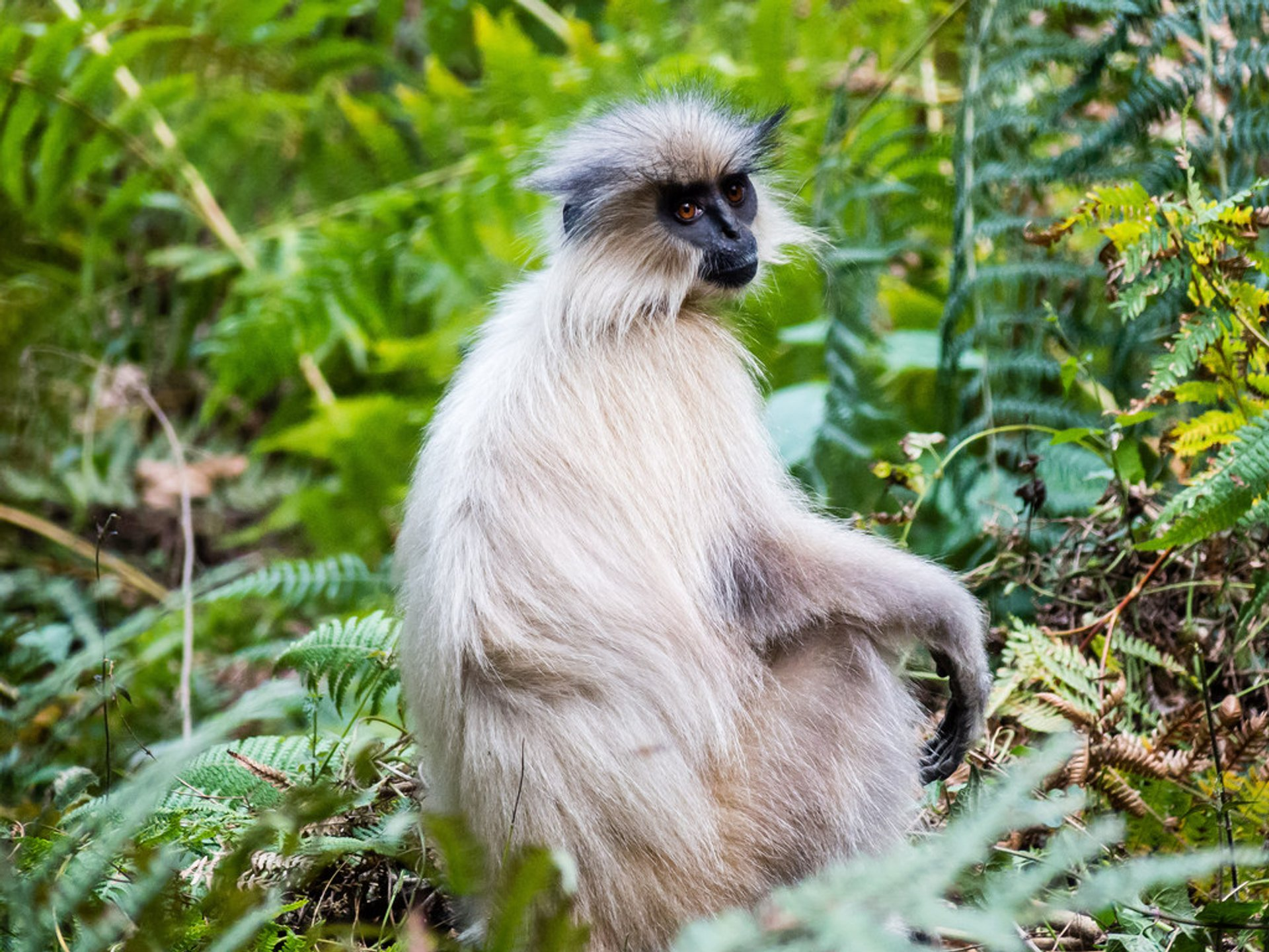 Golden Langur Mating Season in Bhutan 2020 - Best Time