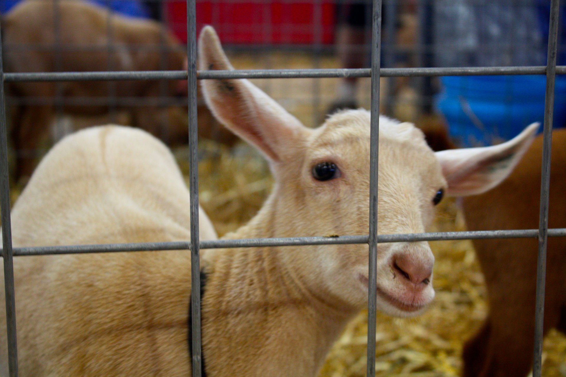 Goat Exhibition & Show at the NC Mountain State Fair  2020