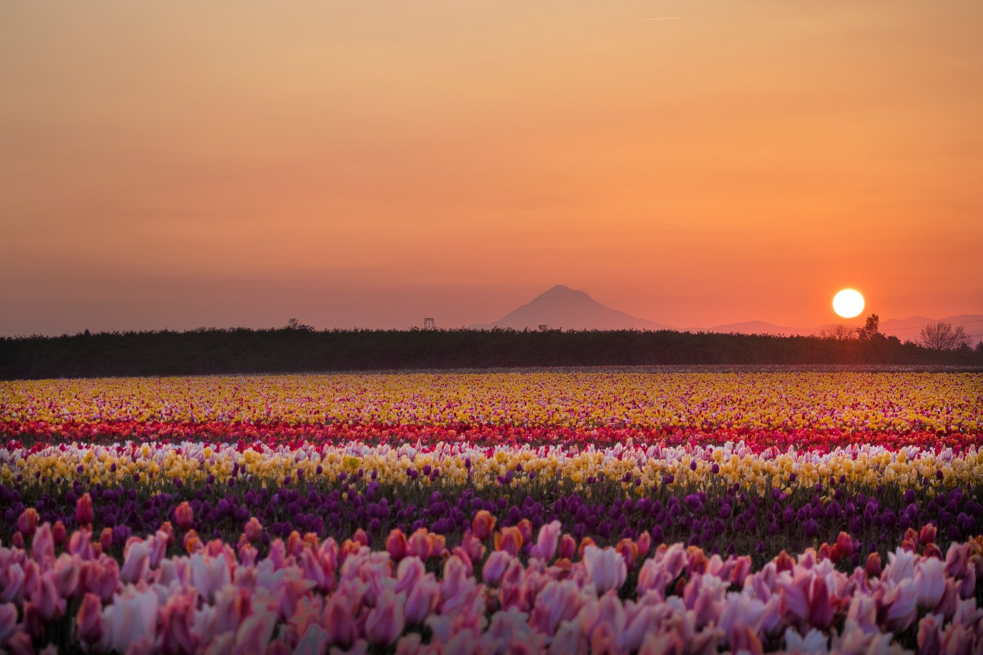 Best time for Wooden Shoe Tulip Fest in Portland 2019