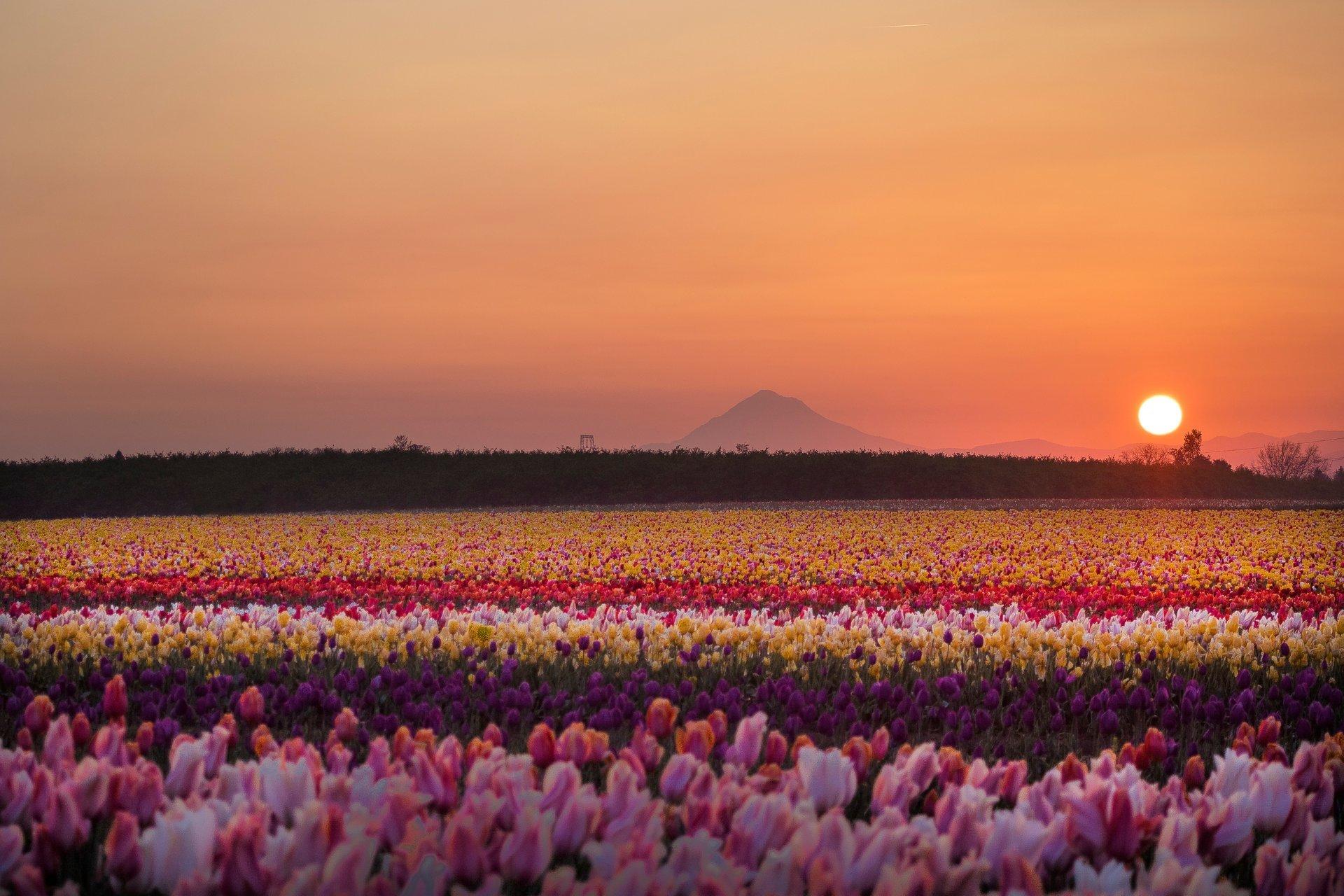 Best time for Wooden Shoe Tulip Fest in Portland 2020