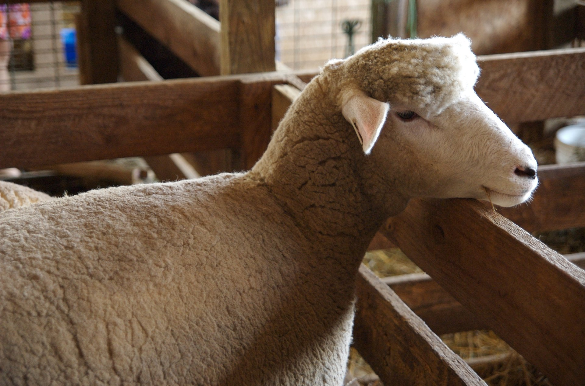 Best time to see Maryland Sheep & Wool Festival 2020