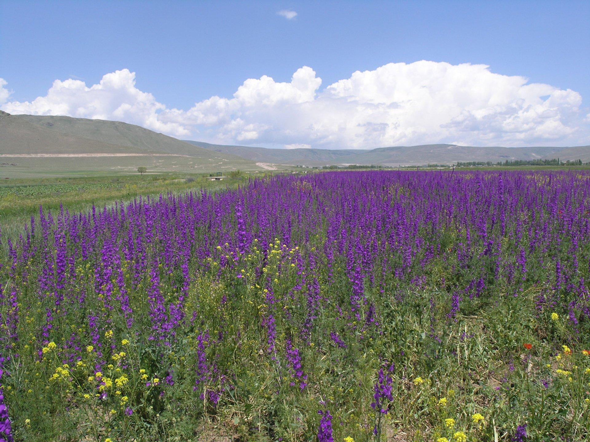 Wildflower field near Erzerum, Turkey 2020