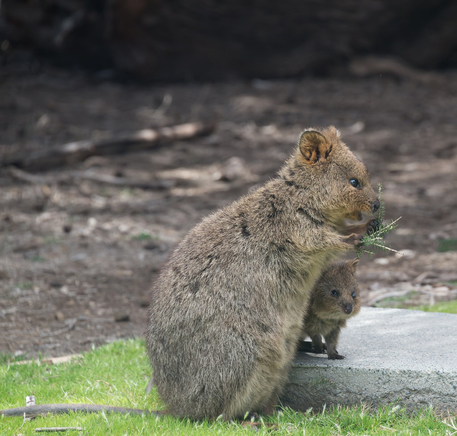 Best time to see Quokka, the World's Happiest Animal in Western Australia