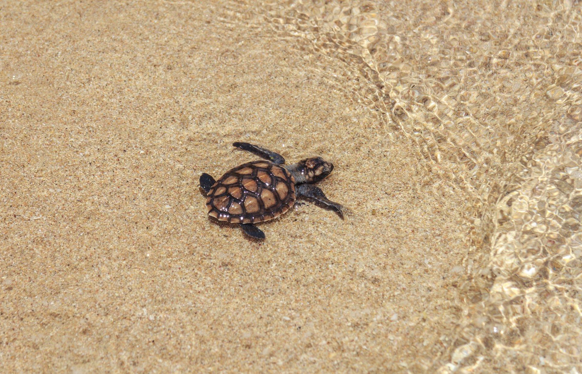 Baby Turtles Hatching Season in Bora Bora 2019 - Best Time