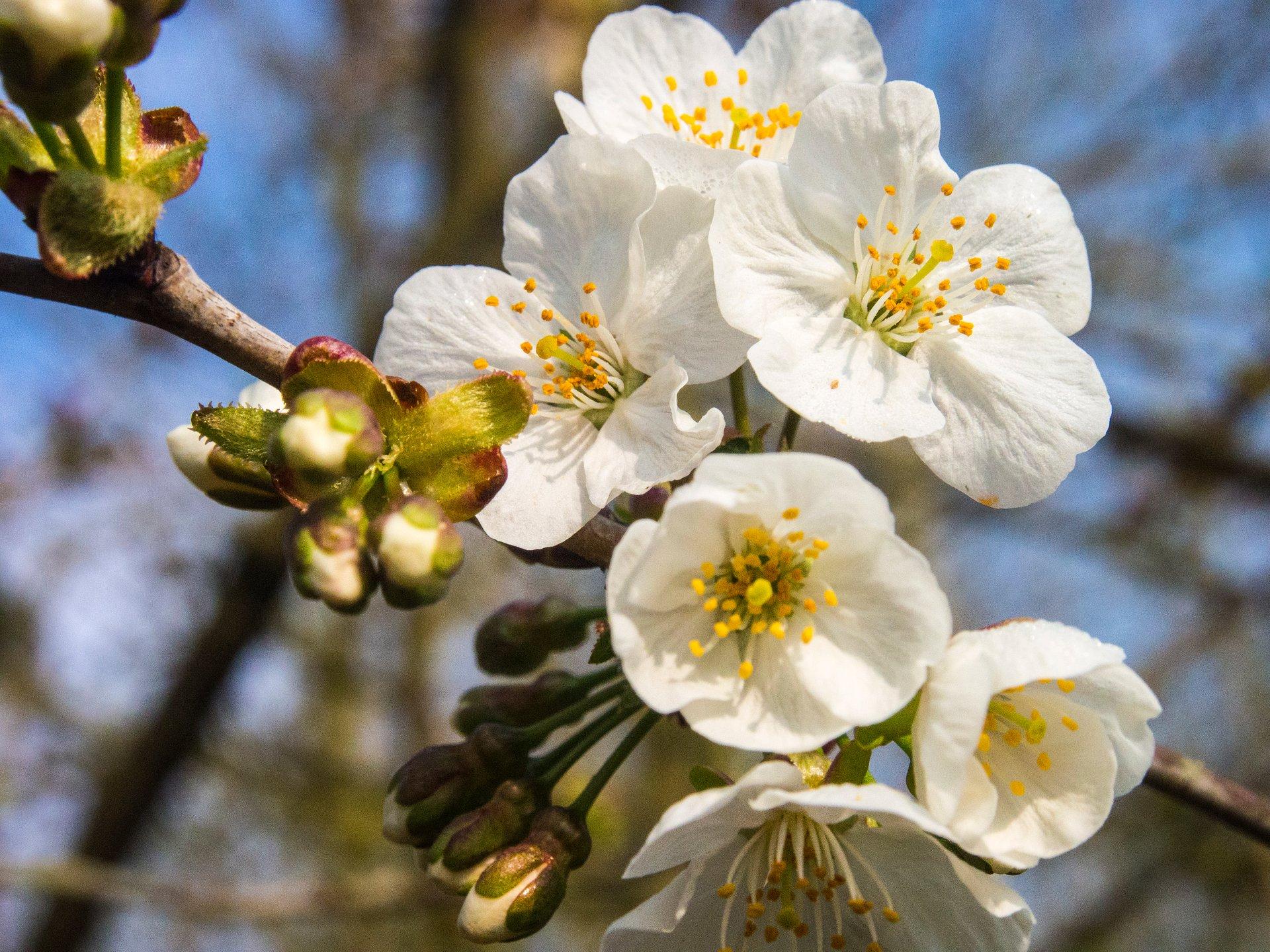 Best time for Blossom Season in Haspengouw in Belgium 2020