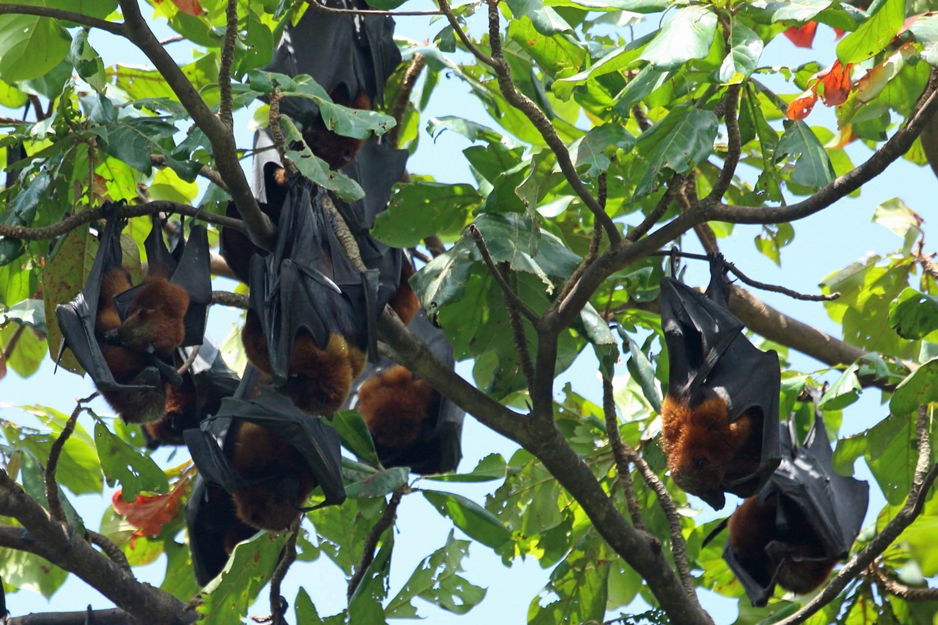Pemba Flying Fox Breeding Season in Zanzibar - Best Season 2019